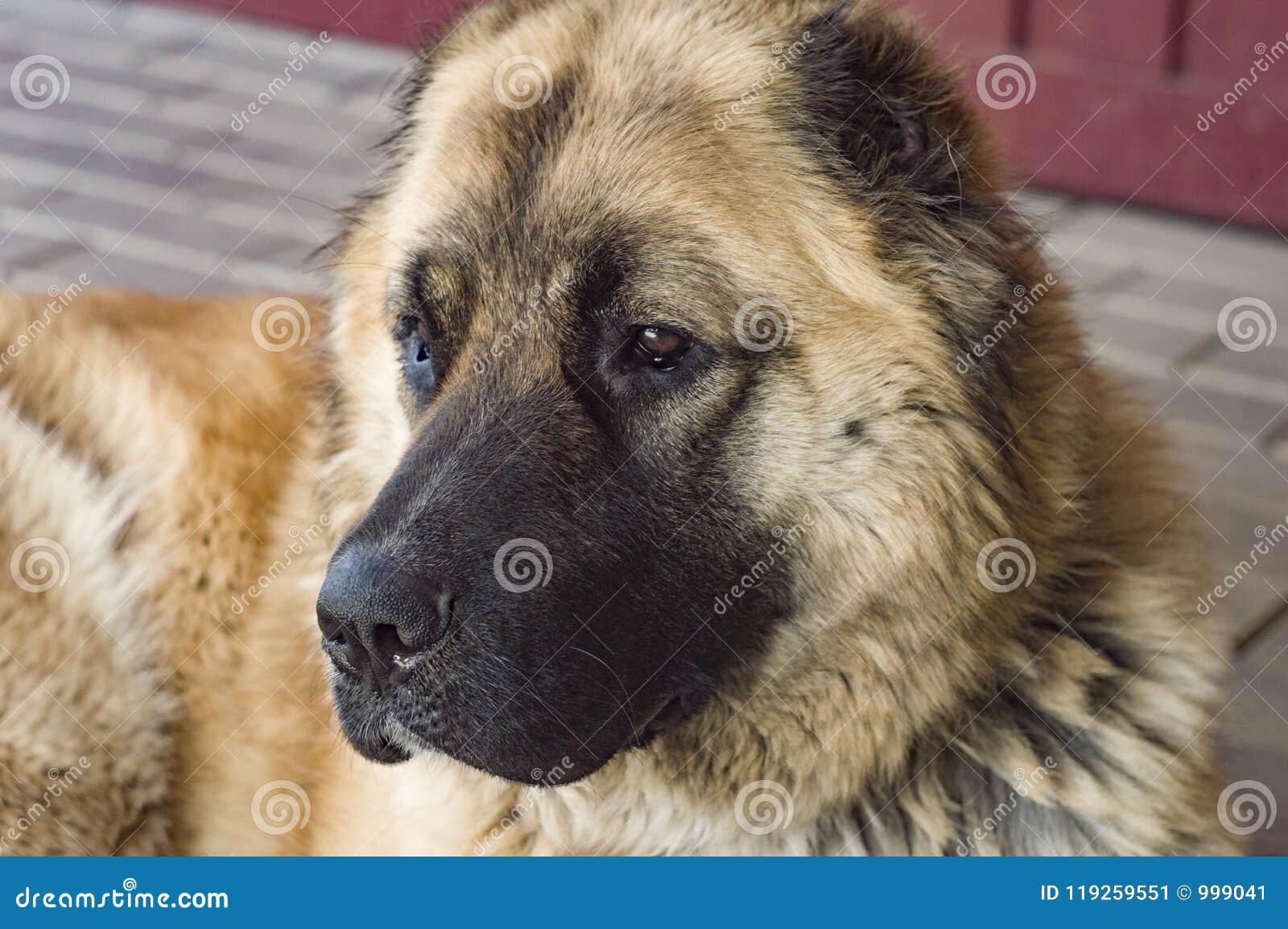 Perro pastor caucásico del perro dos años del jpg