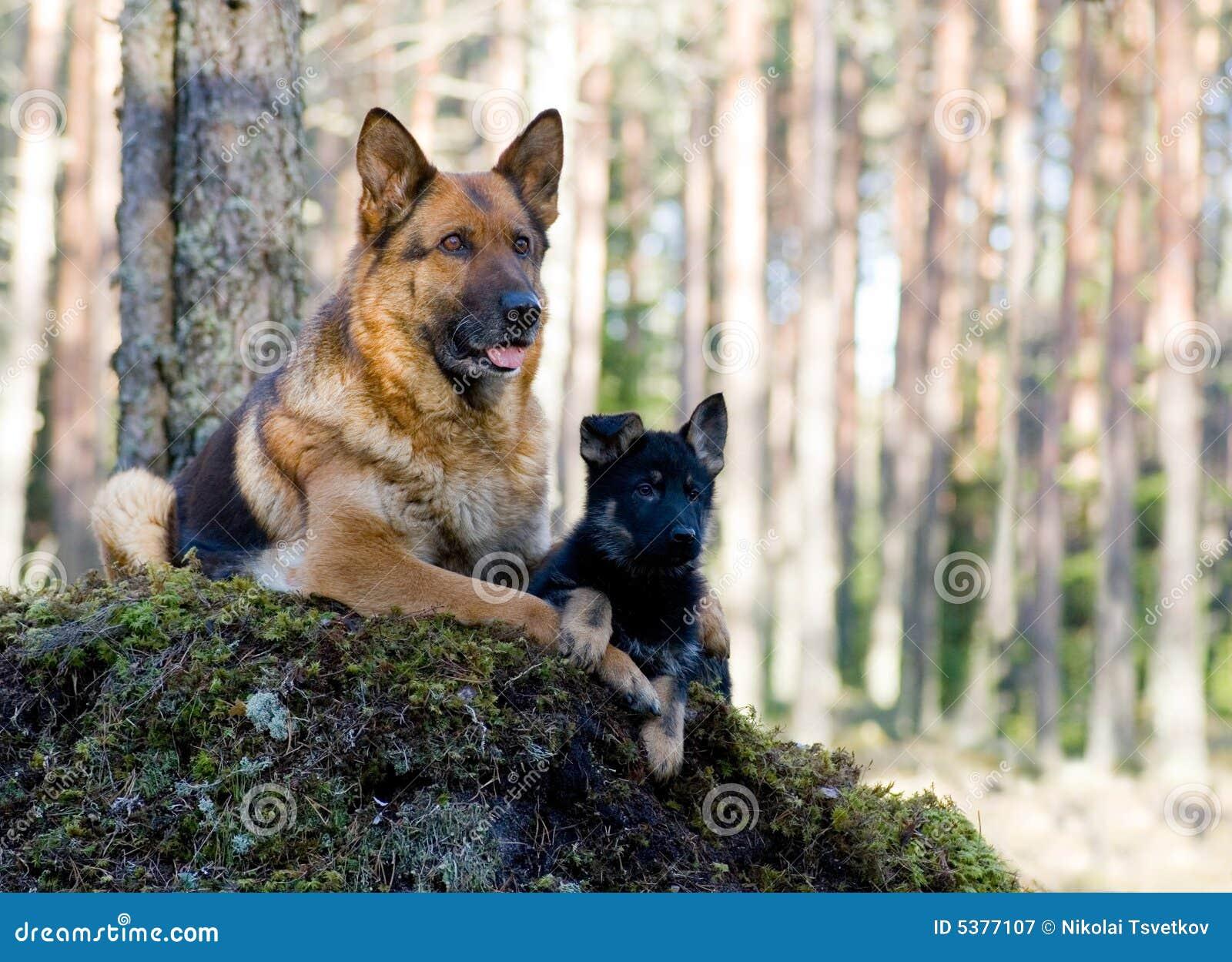 Perro pastor de Alemania con el perrito