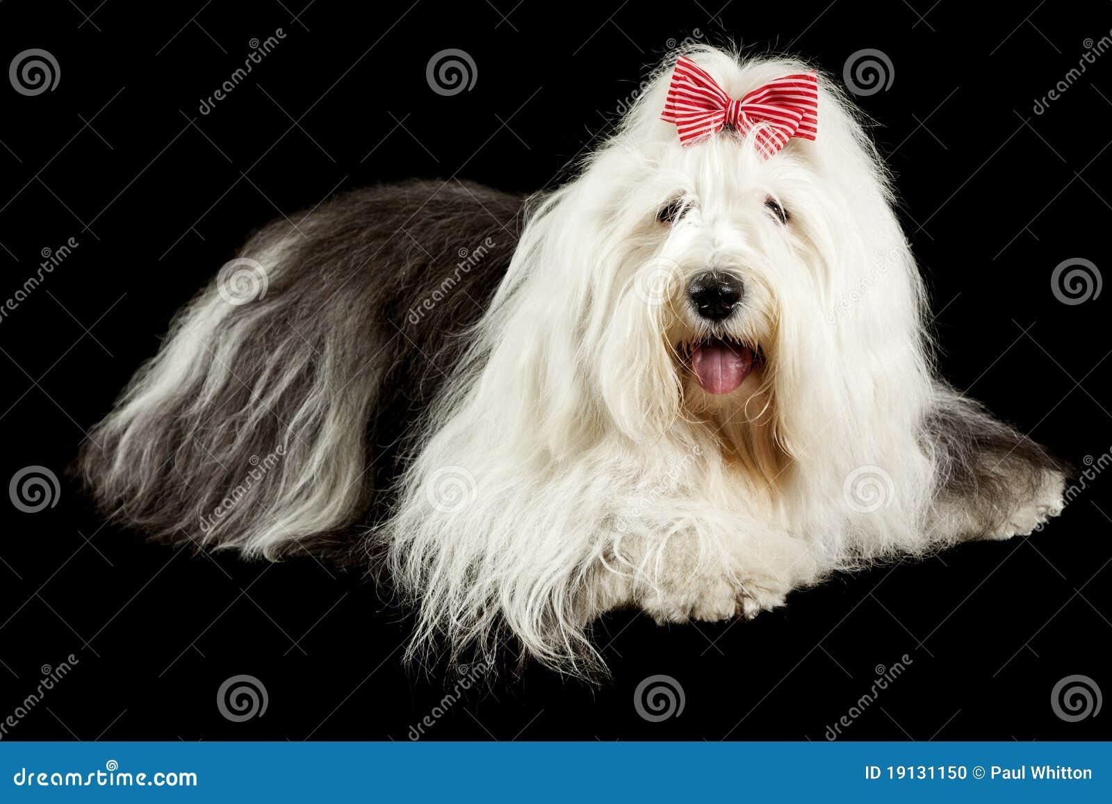 Perro pastor inglés viejo