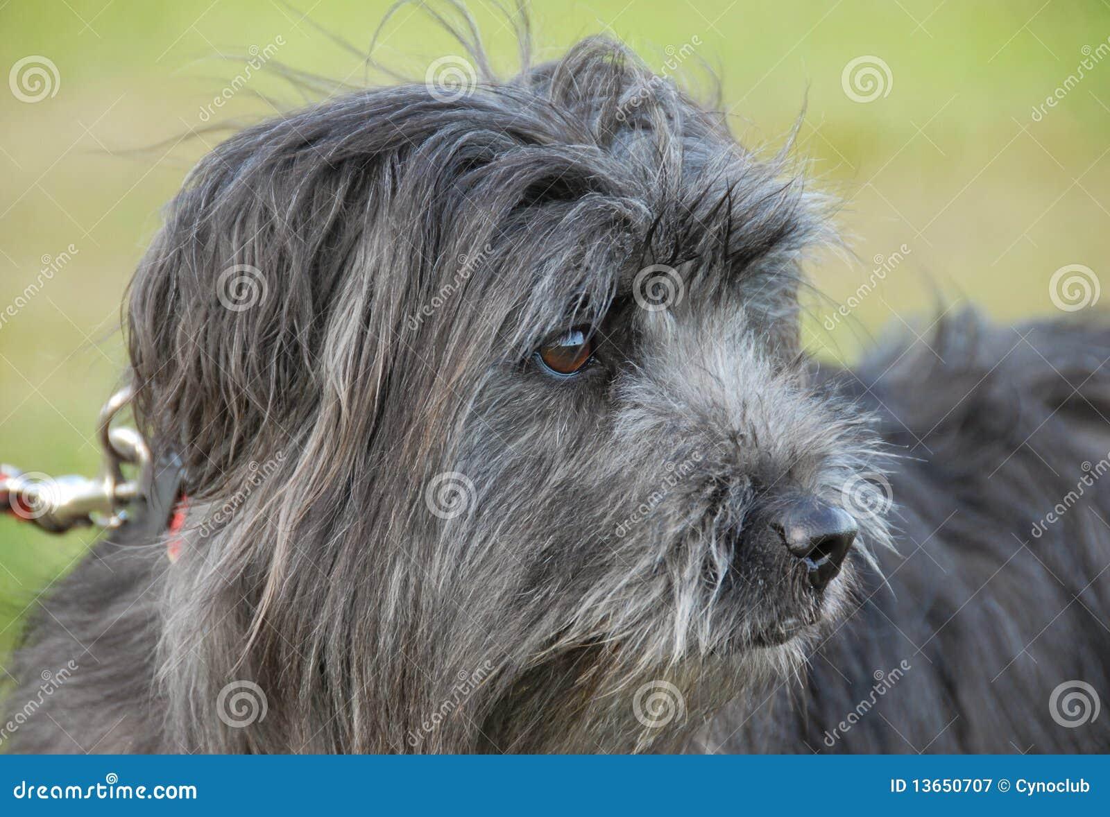 Perro pastor pirenáico