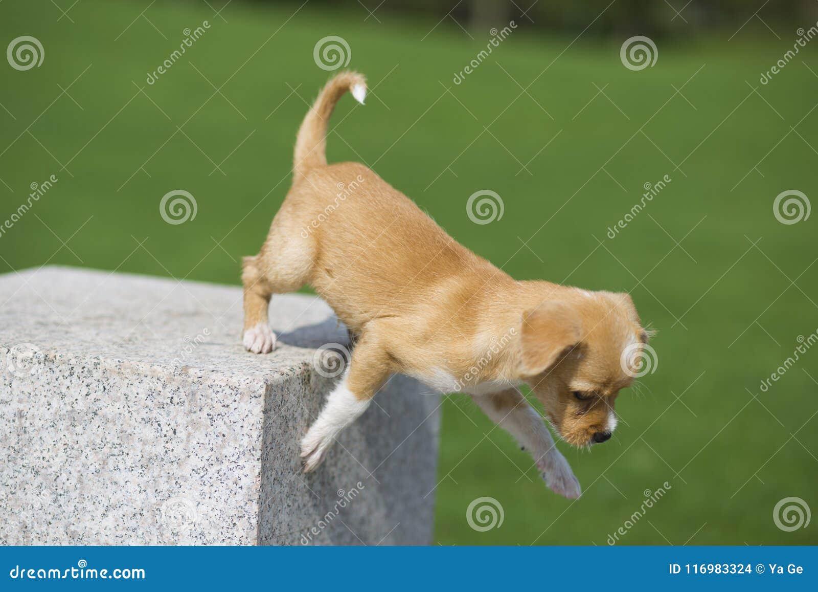 Perro pastoral chino