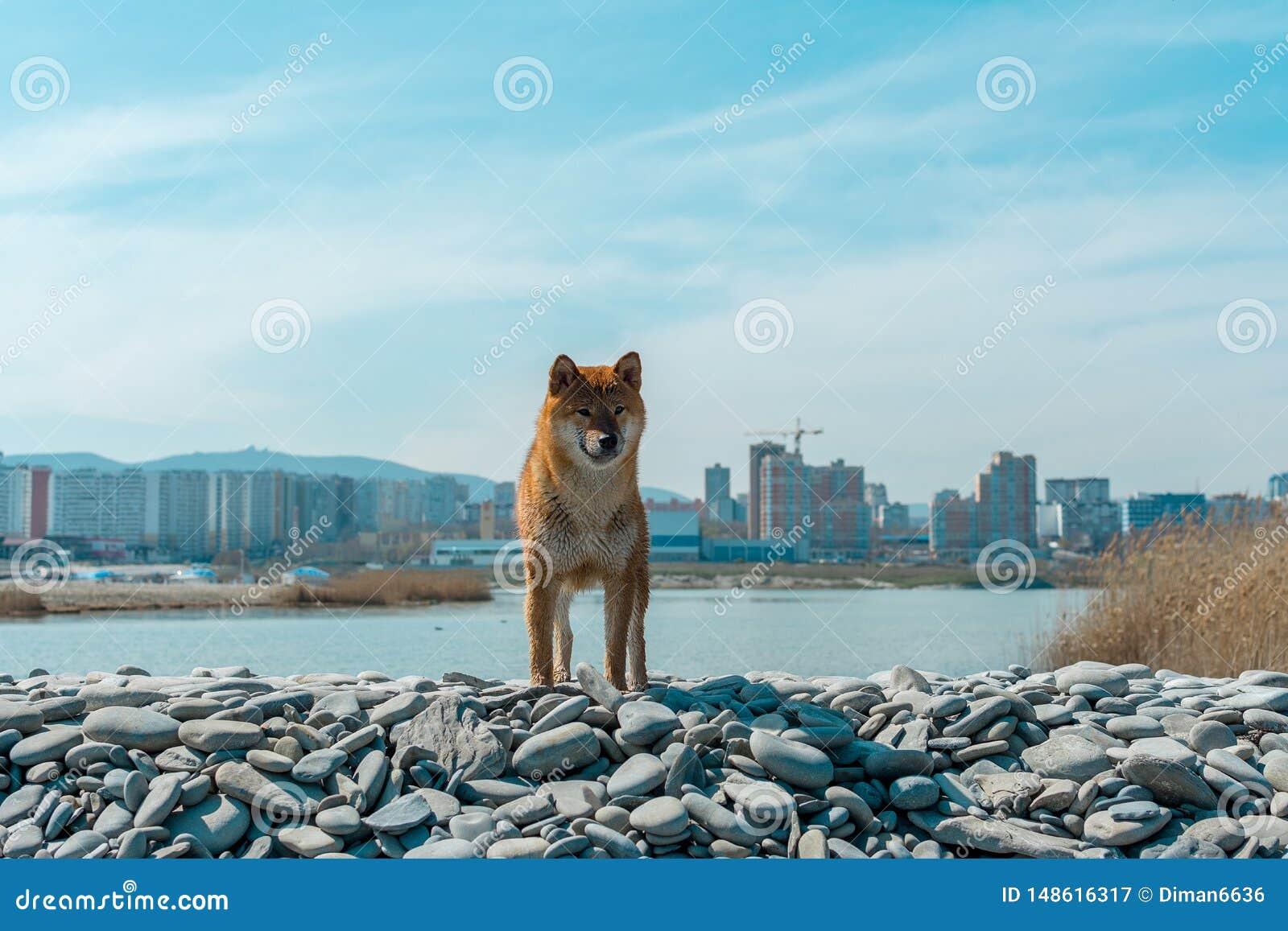 Perro pedigr? joven que descansa sobre la playa Situaci?n roja del perro del inu del shiba cerca del Mar Negro en Novorossiysk
