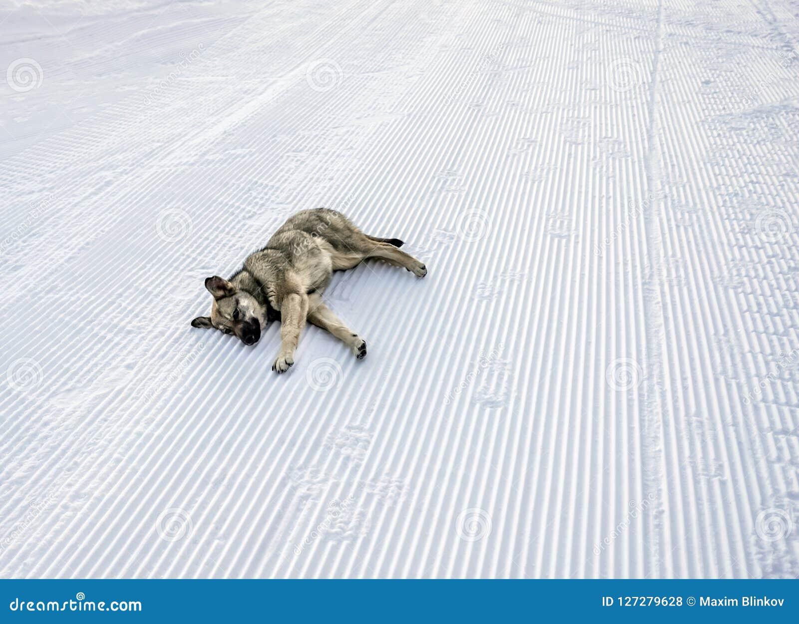 Perro perdido que miente en nieve