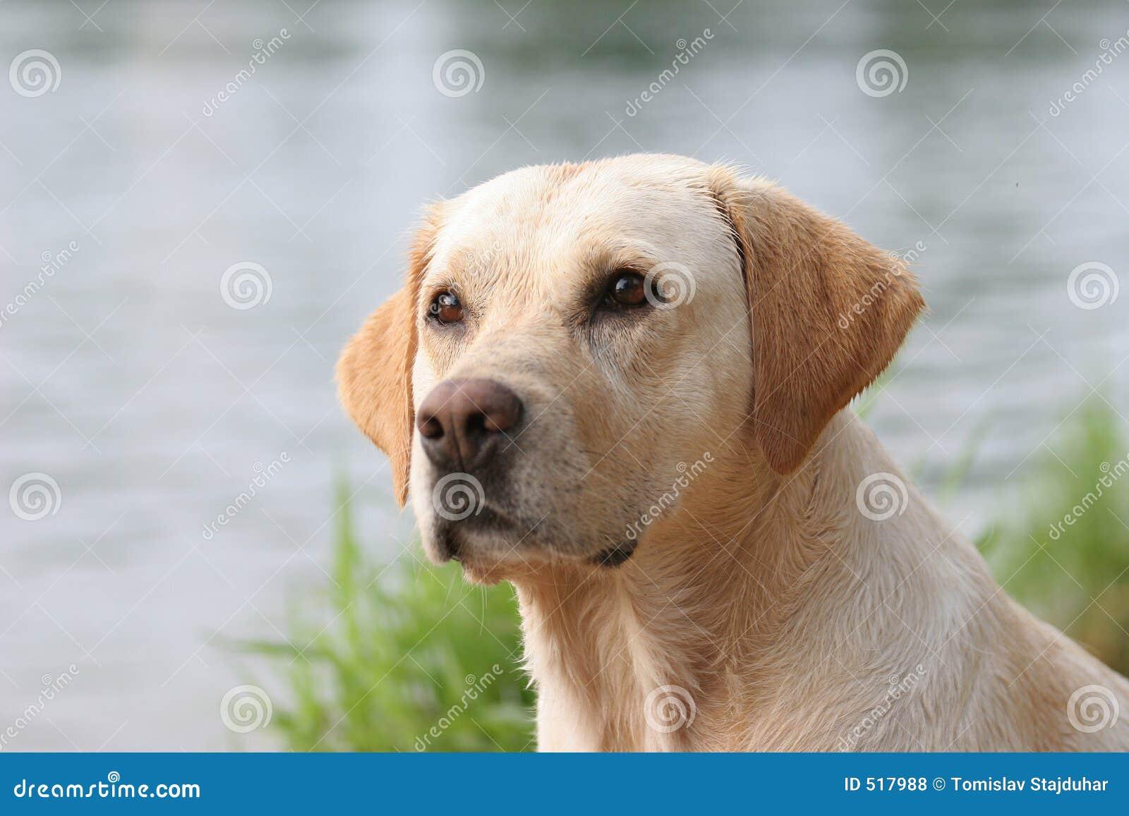 Perro perdiguero de Labrador