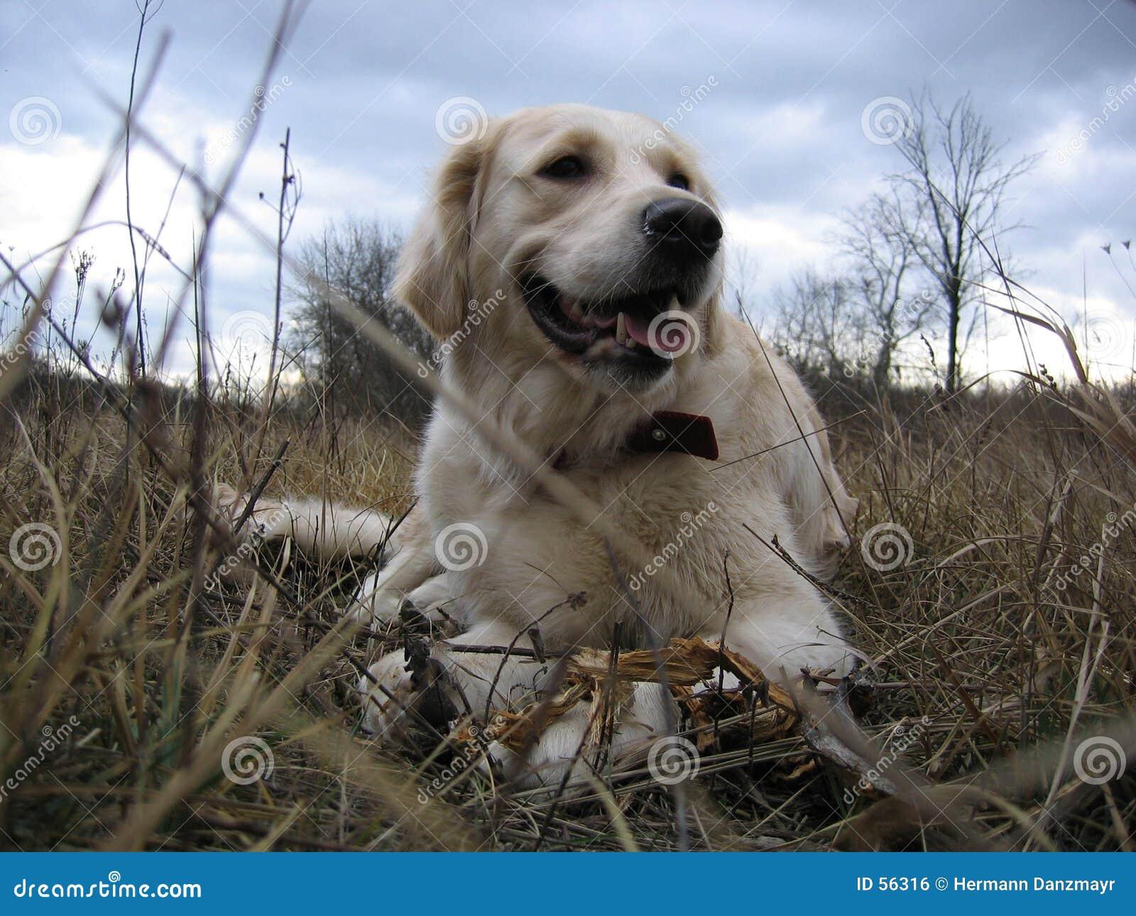 Perro perdiguero de oro