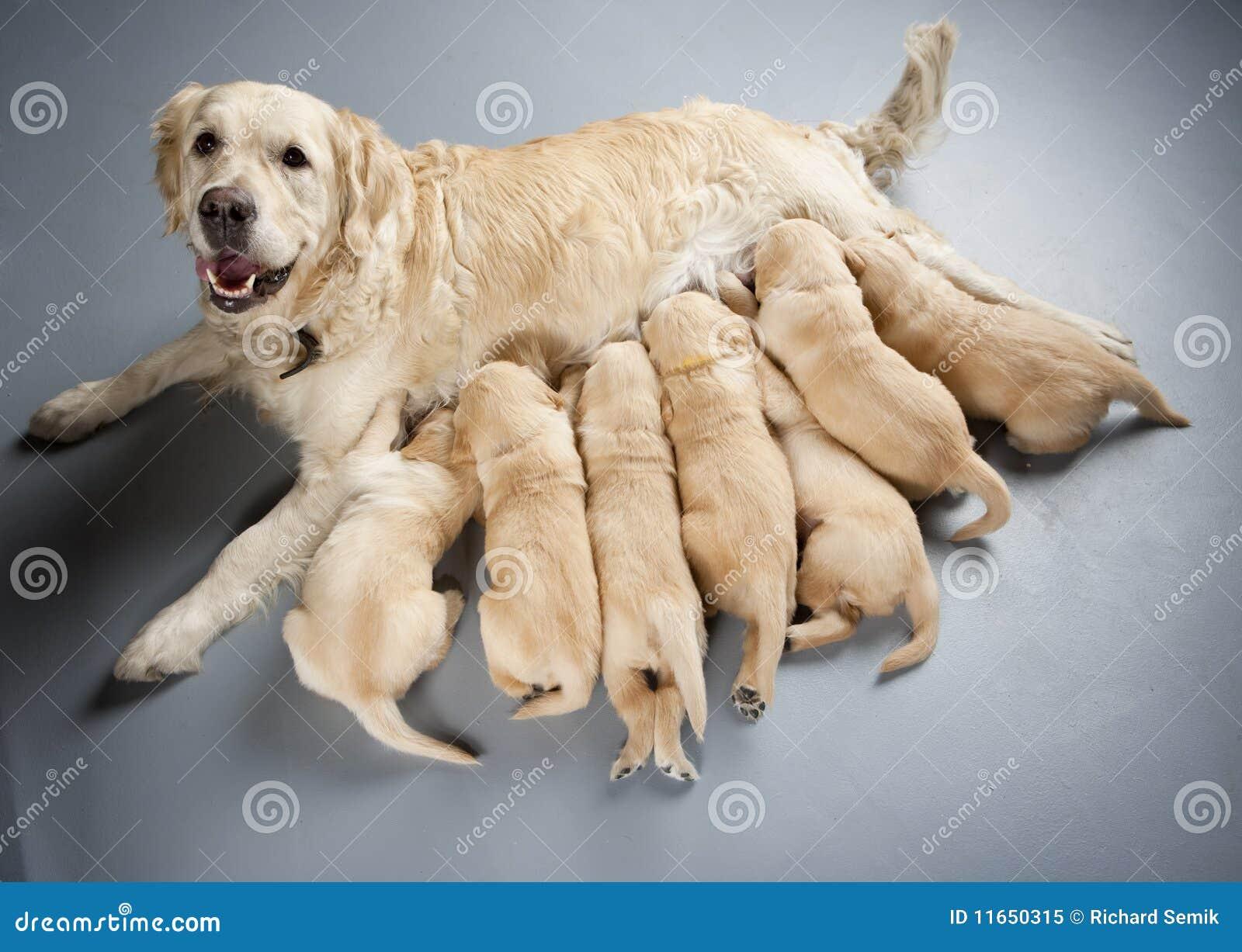 Perro perdiguero de oro con los perritos