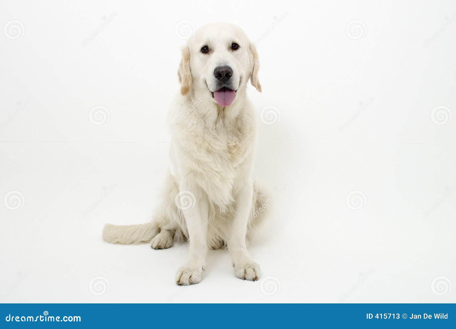 Perro perdiguero de oro dulce