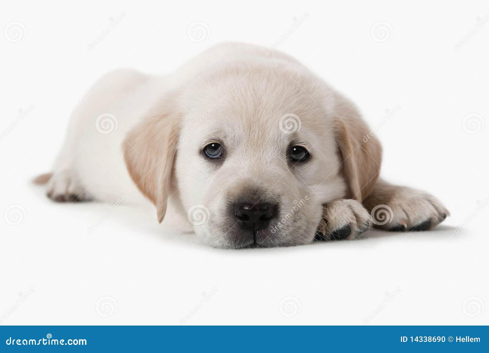 Perro - perrito del perro perdiguero de oro