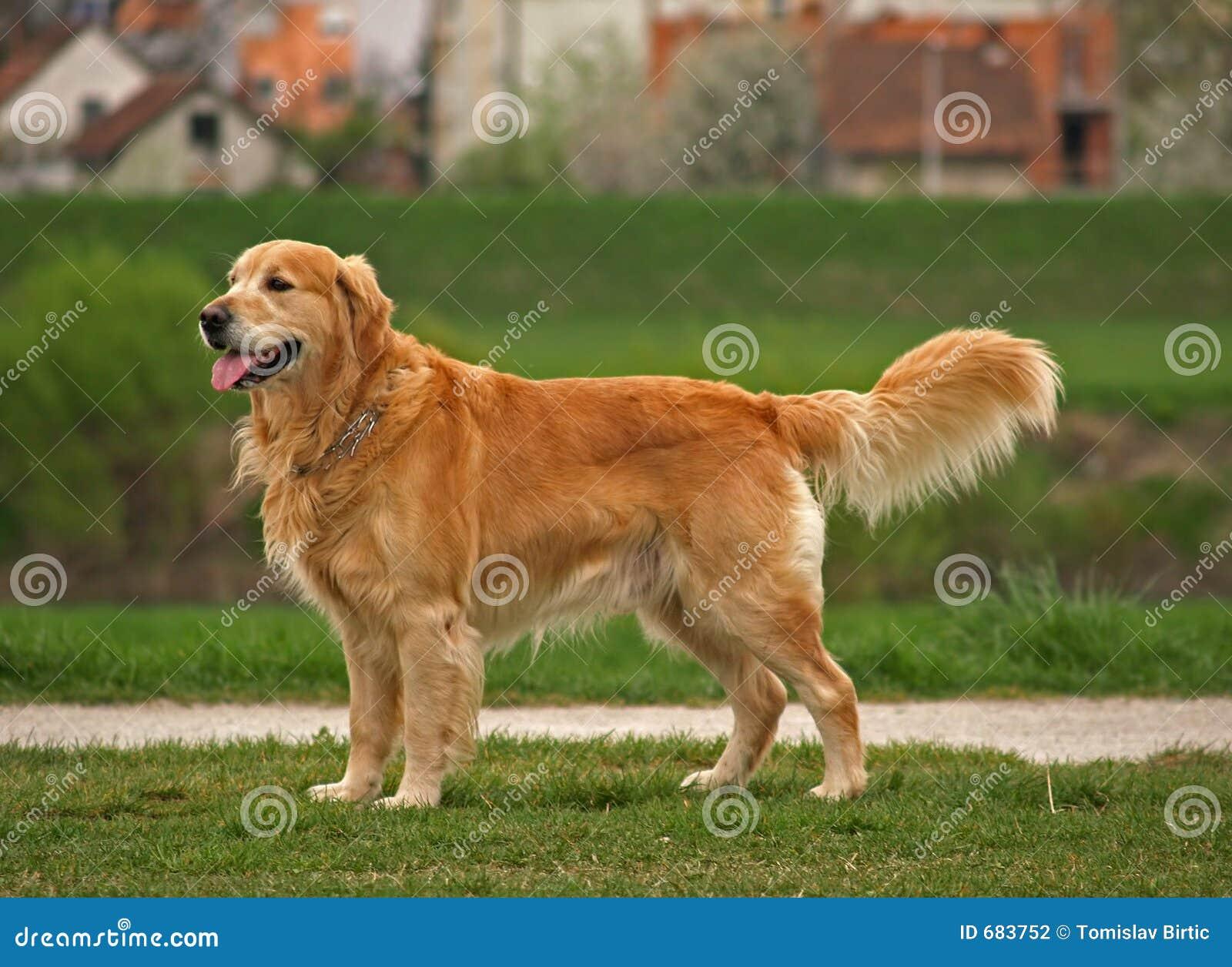 Perro/perro perdiguero de oro