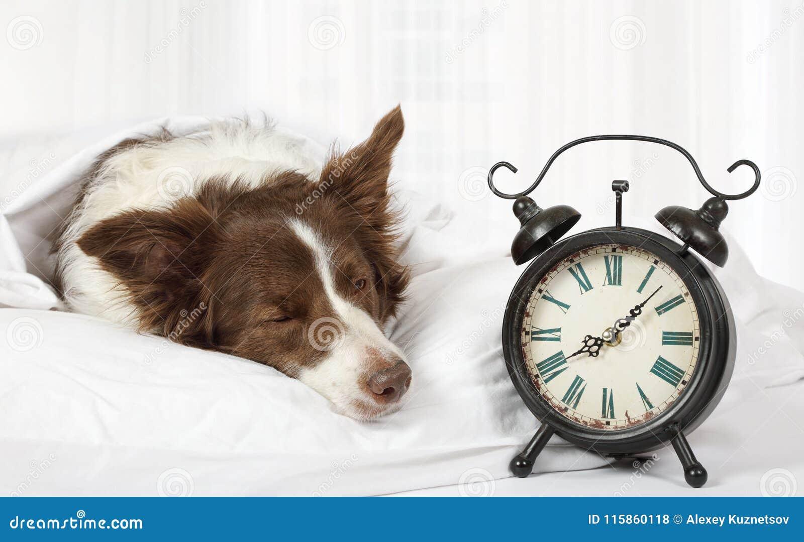 Perro precioso de la raza de la frontera del collie que duerme en cama