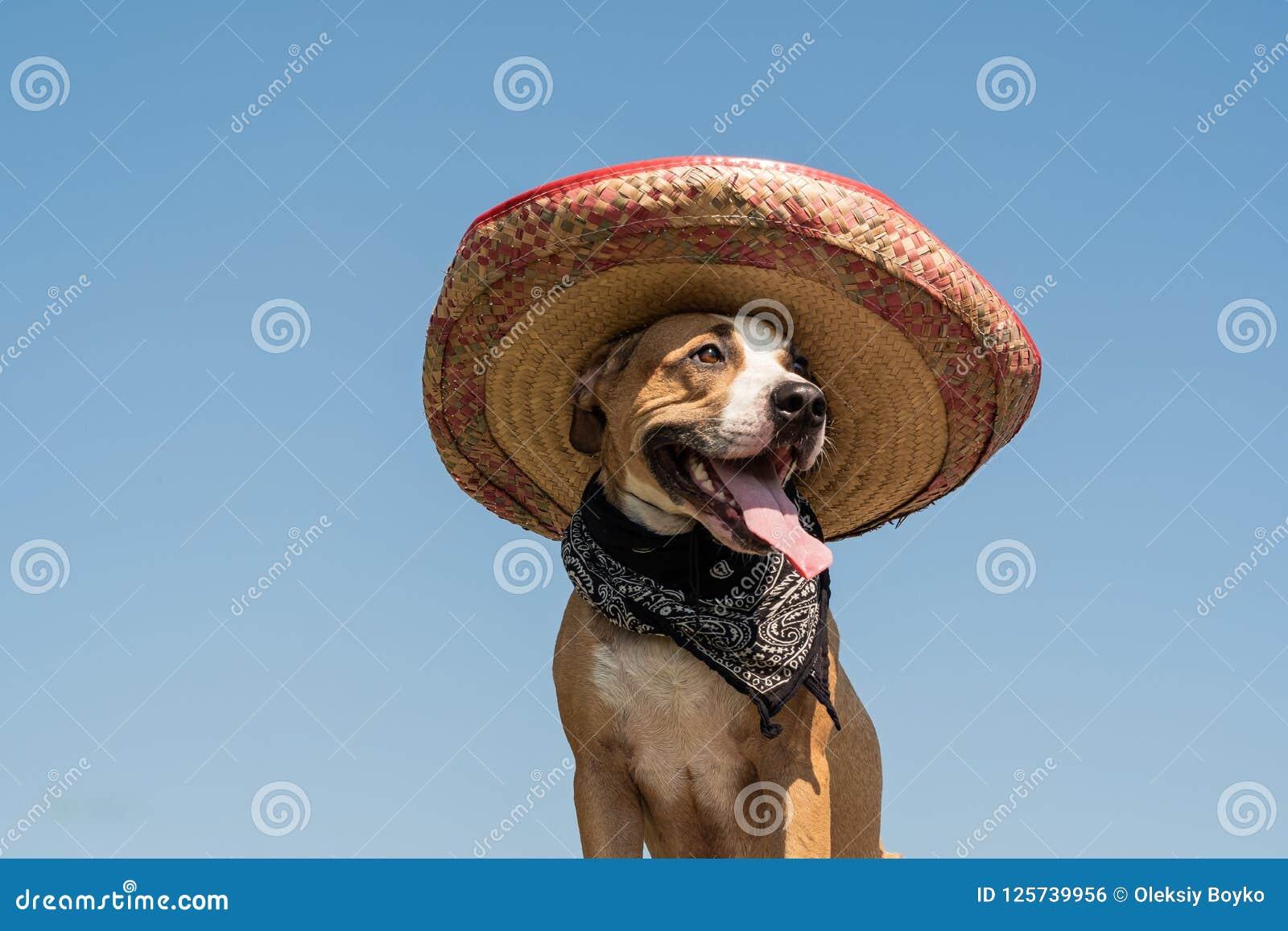67dc2a0aabd2c Perro precioso en sombrero mexicano como bandido occidental del estilo del  gángster El terrier divertido lindo de Staffordshire se vistió para arriba  en ...
