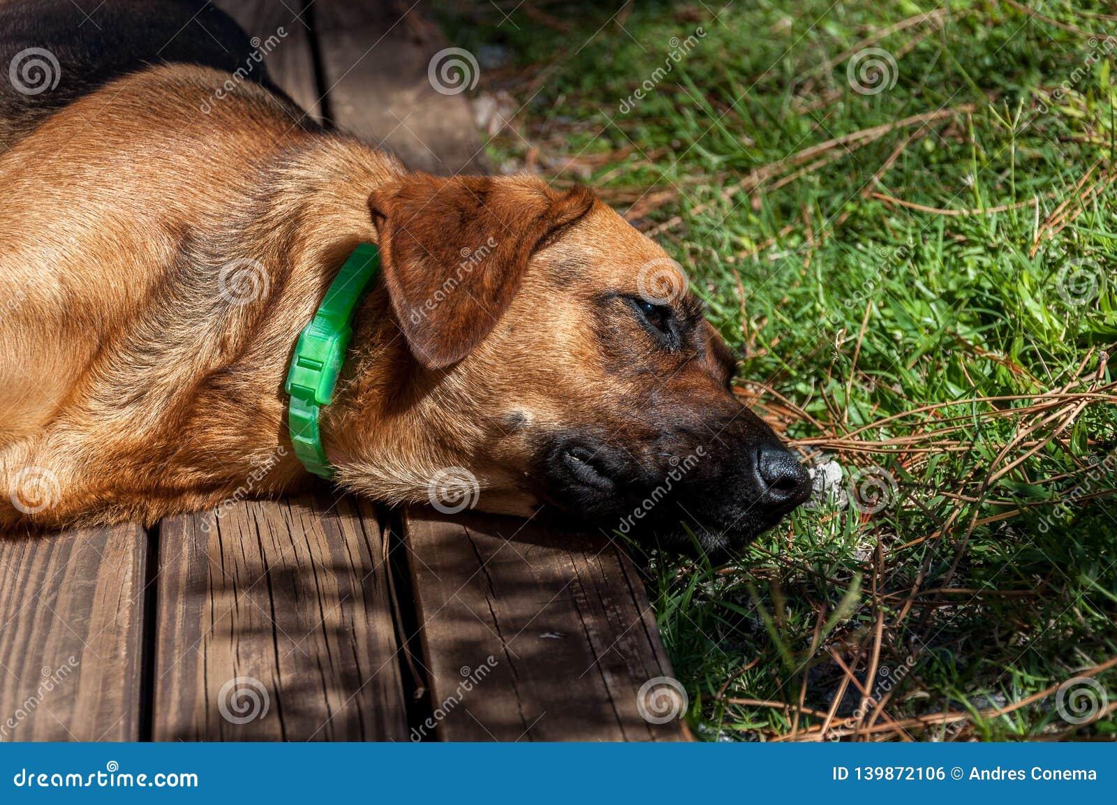Perro que descansa en la cubierta de madera de la sol brillante