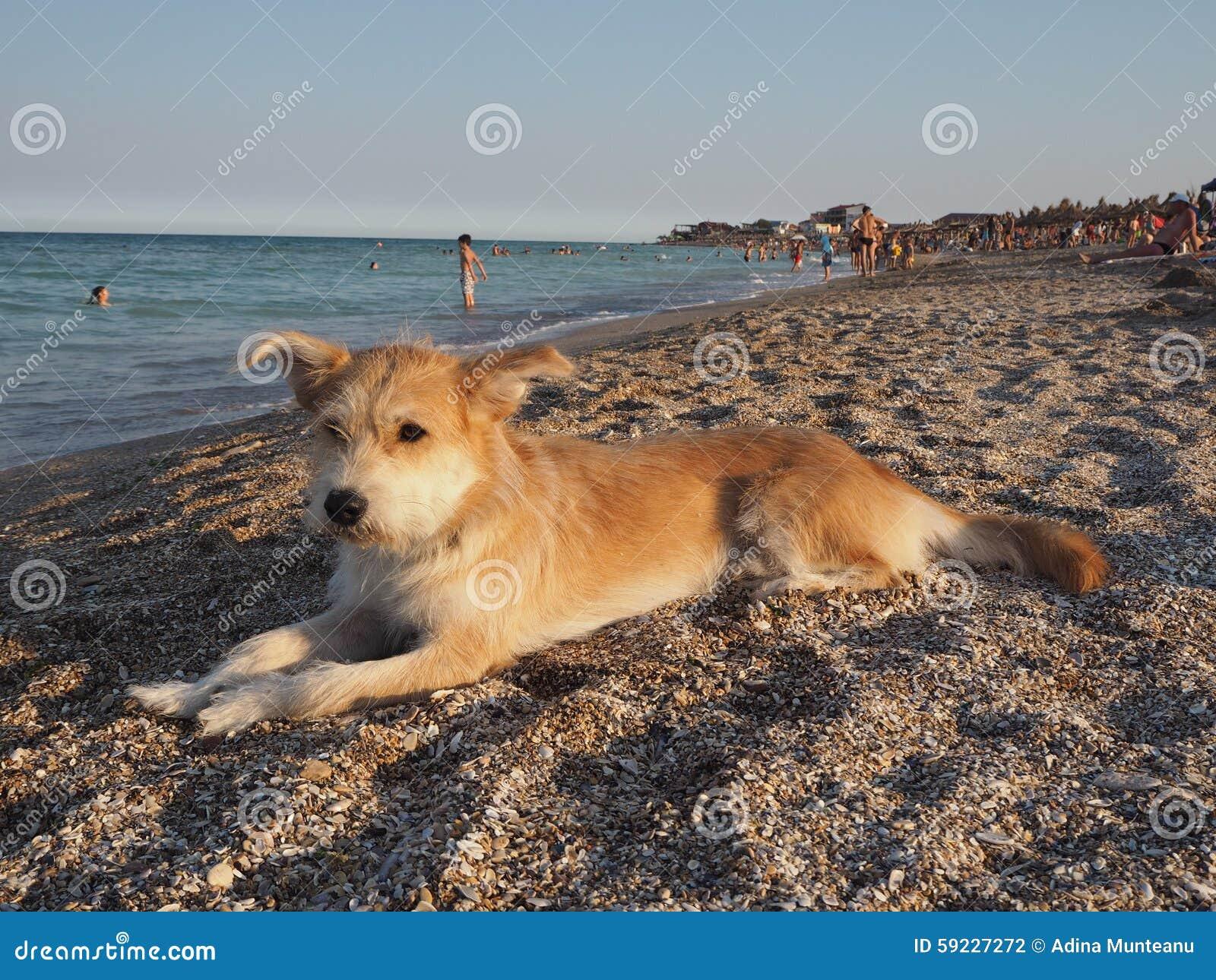 Download Perro Que Miente En La Arena En La Playa Foto de archivo - Imagen de wiry, agua: 59227272