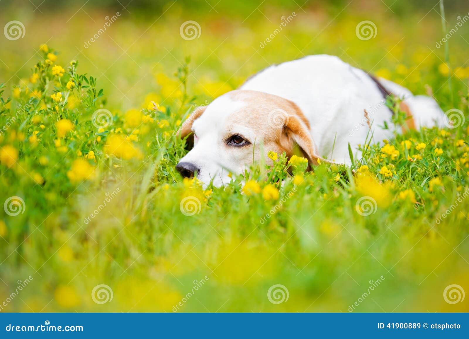 Perro que se acuesta en flores del verano