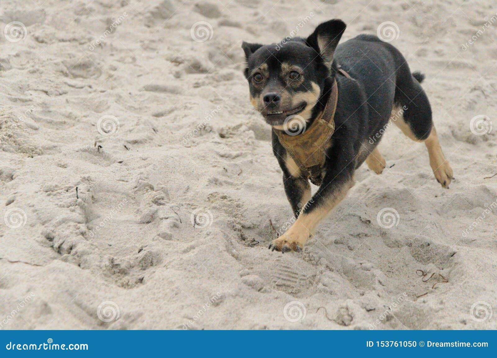 Perro que se ejecuta en la arena