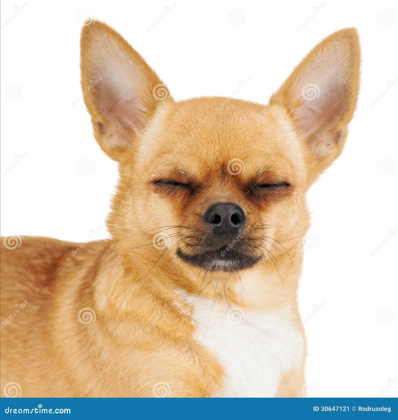 perro chihuahua fondo de - photo #39