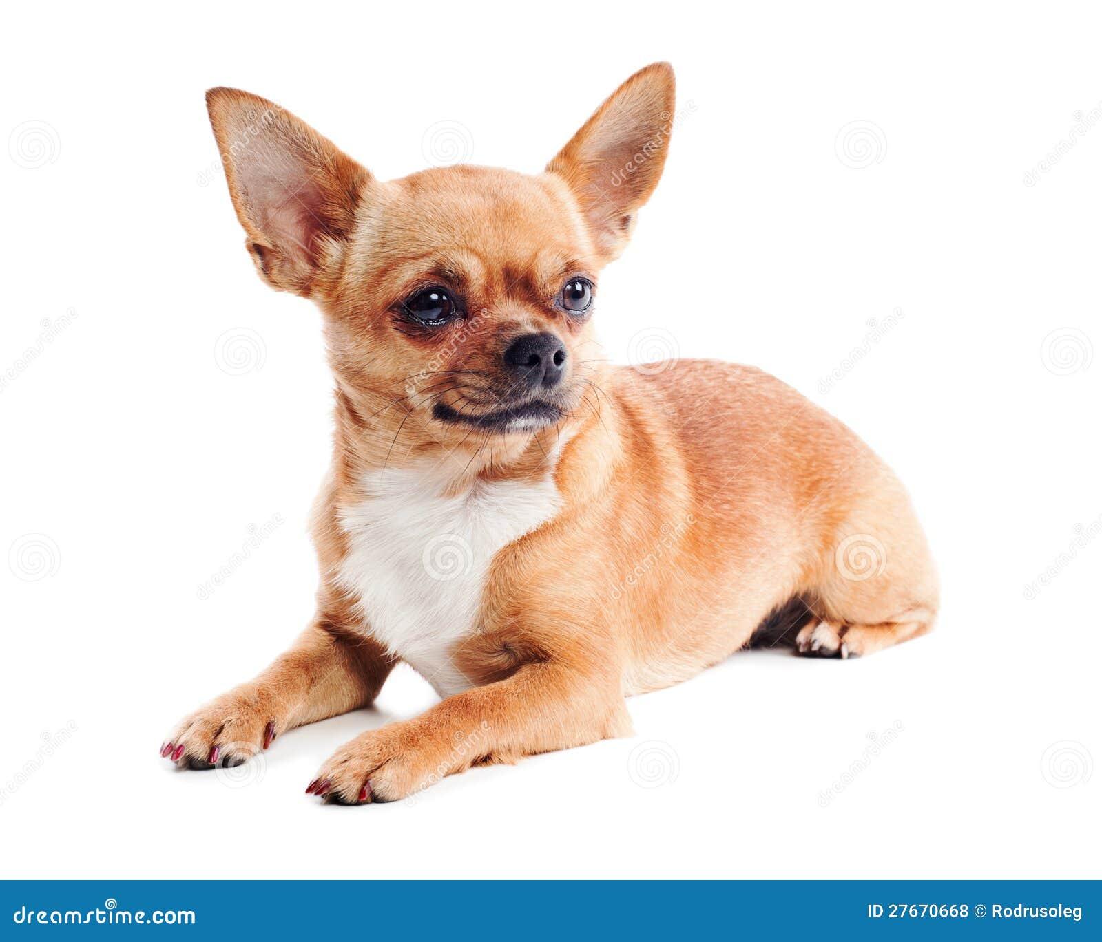 perro chihuahua fondo de - photo #2