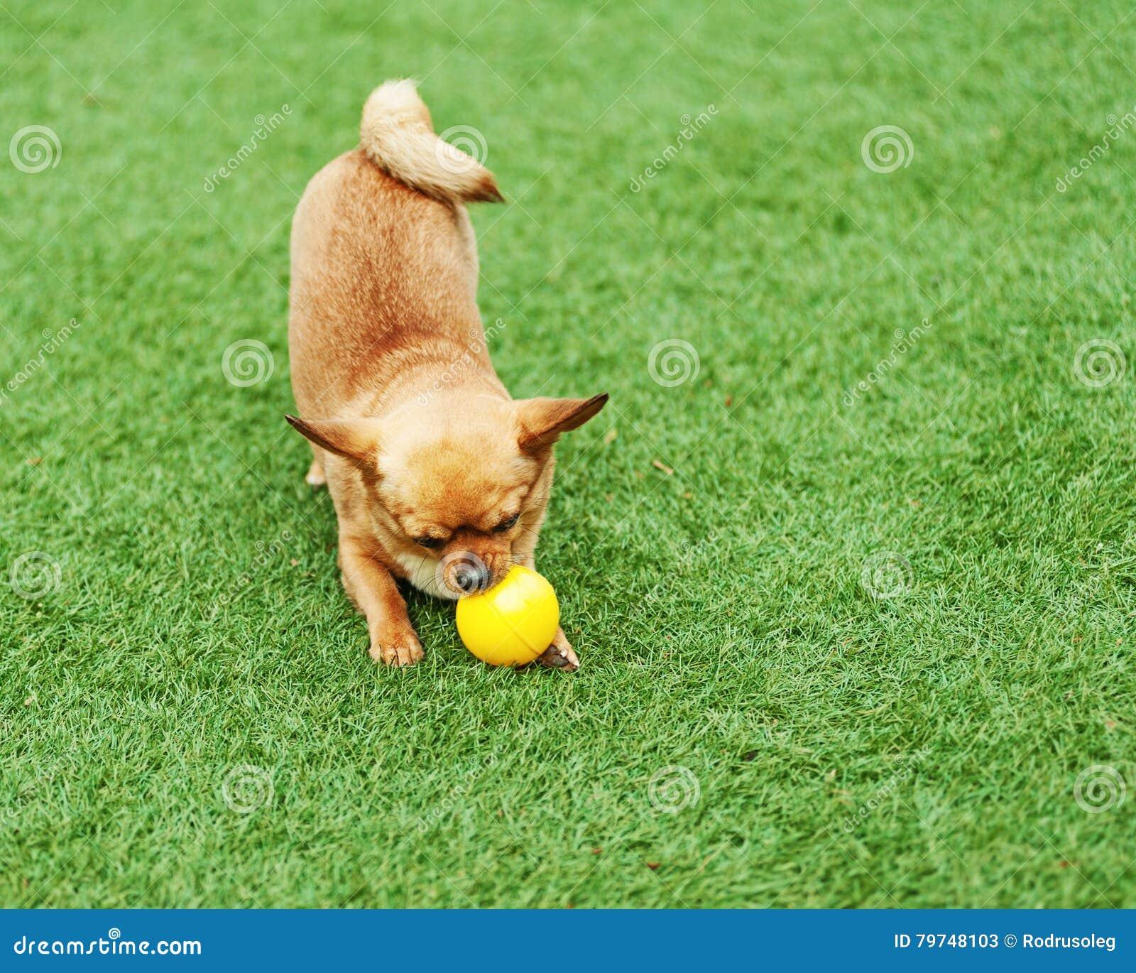 Perro rojo de la chihuahua en hierba verde