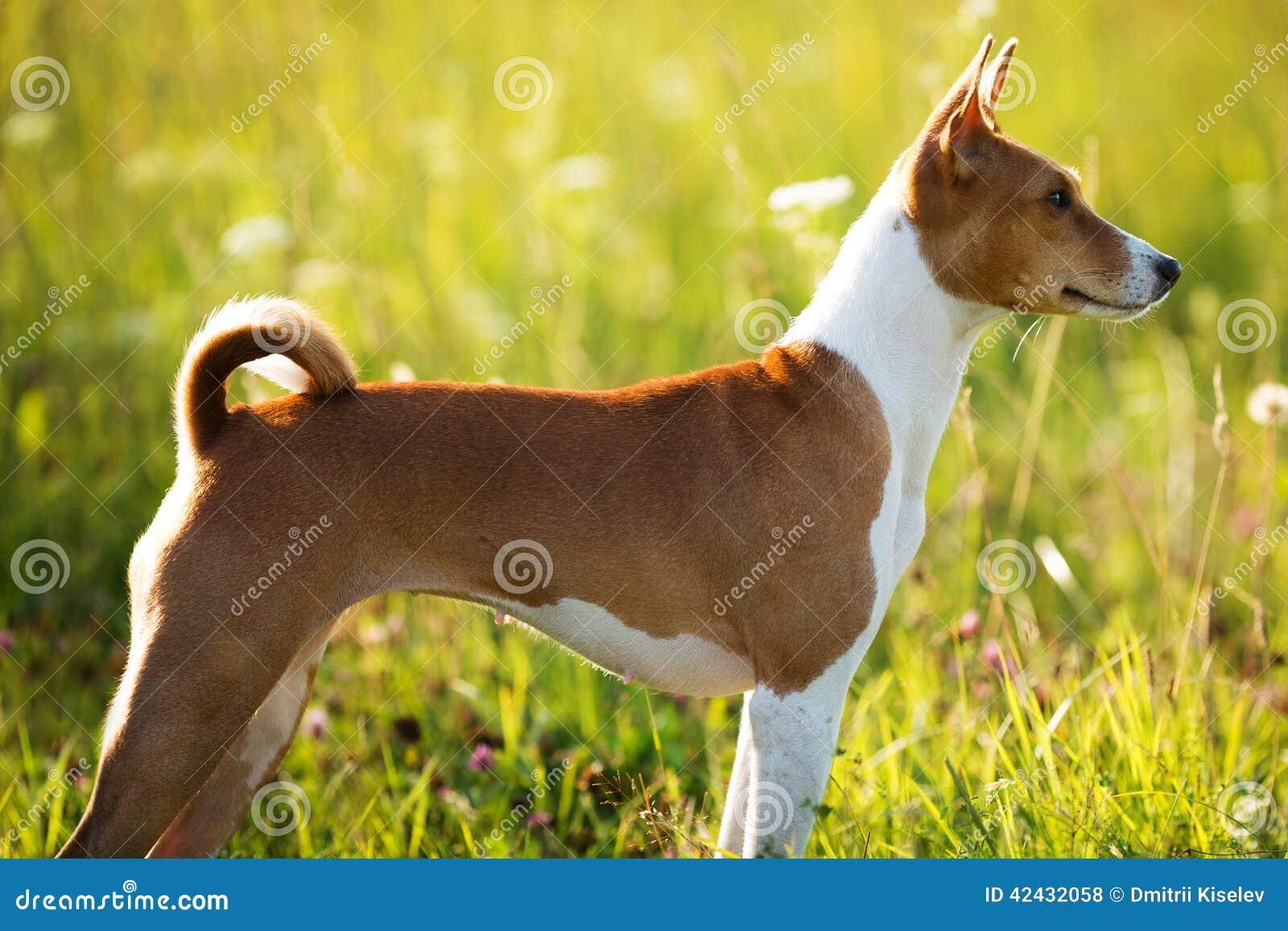 Perro rojo que se coloca y que mira en alguna parte