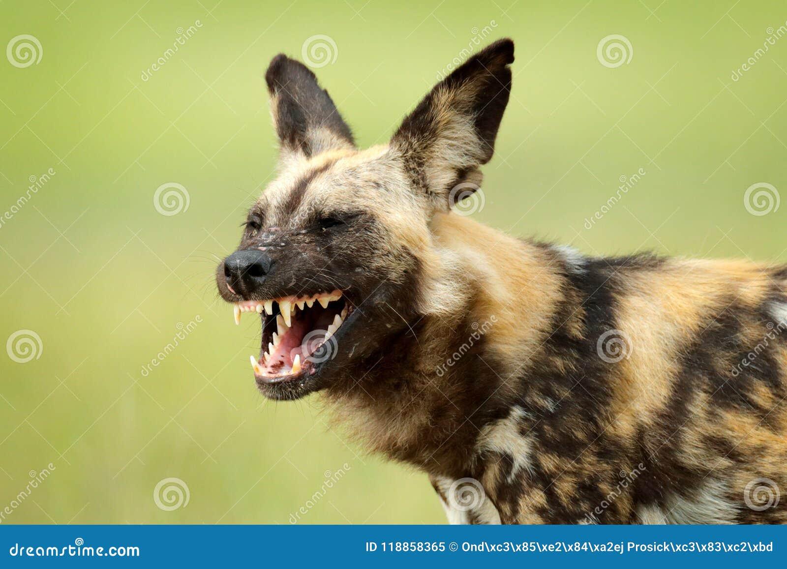 Perro salvaje africano, bozal abierto del hocico con los dientes, caminando en el agua en el camino Búsqueda del perro pintado co