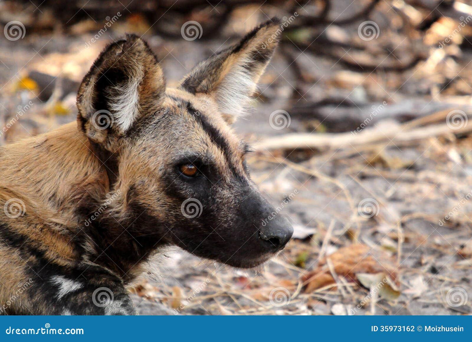 Perro salvaje en el parque nacional de Tanzania