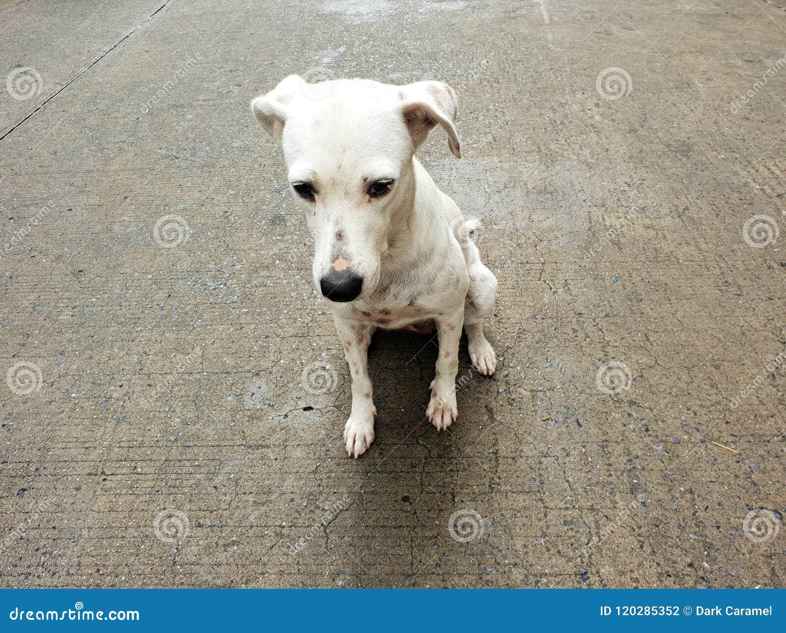 Perro Sin Hogar Color Blanco Del Perro Que Se Sienta En El Camino