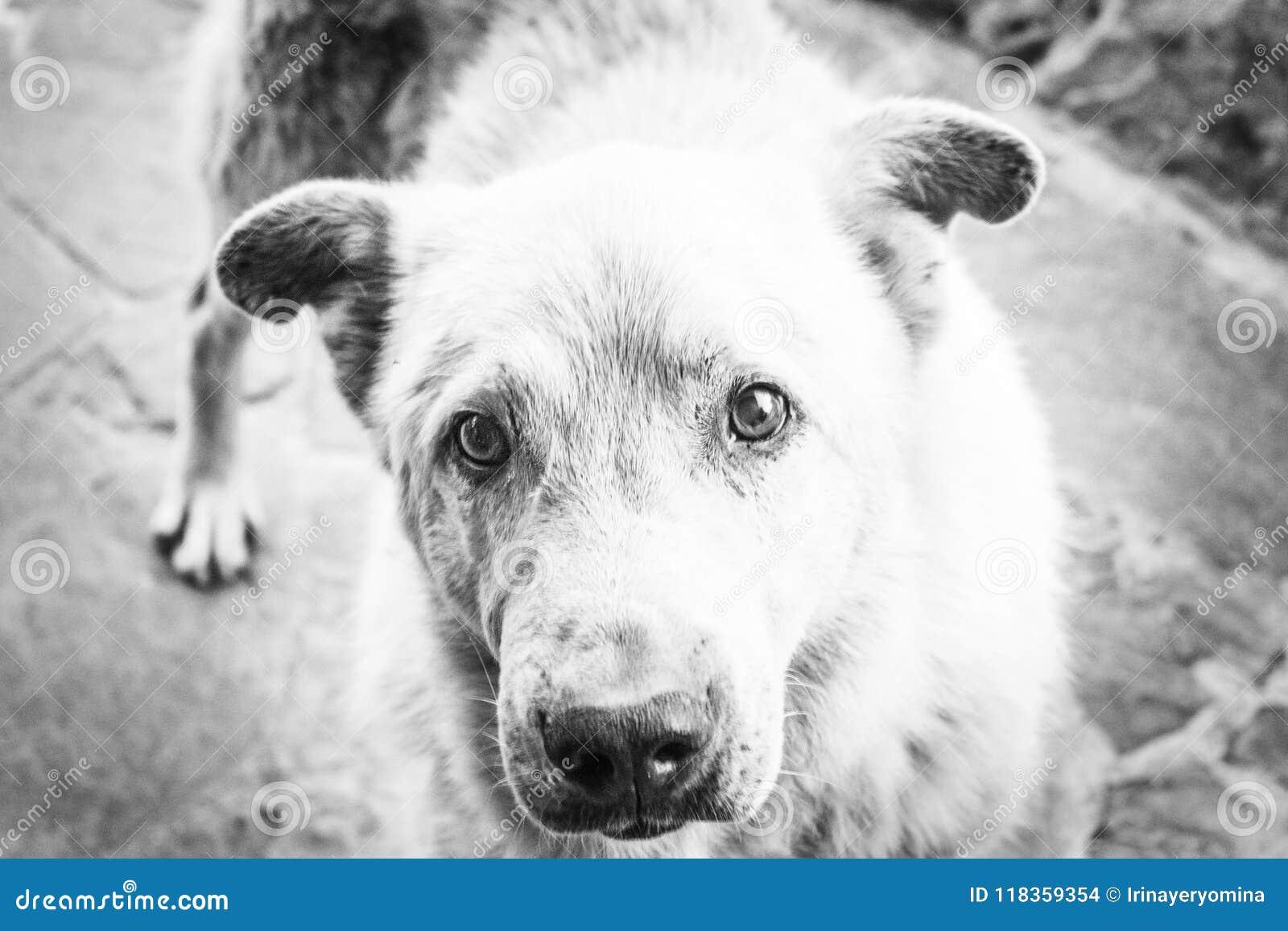 Perro sin hogar hambriento blanco grande con los ojos tristes Portrai blanco negro
