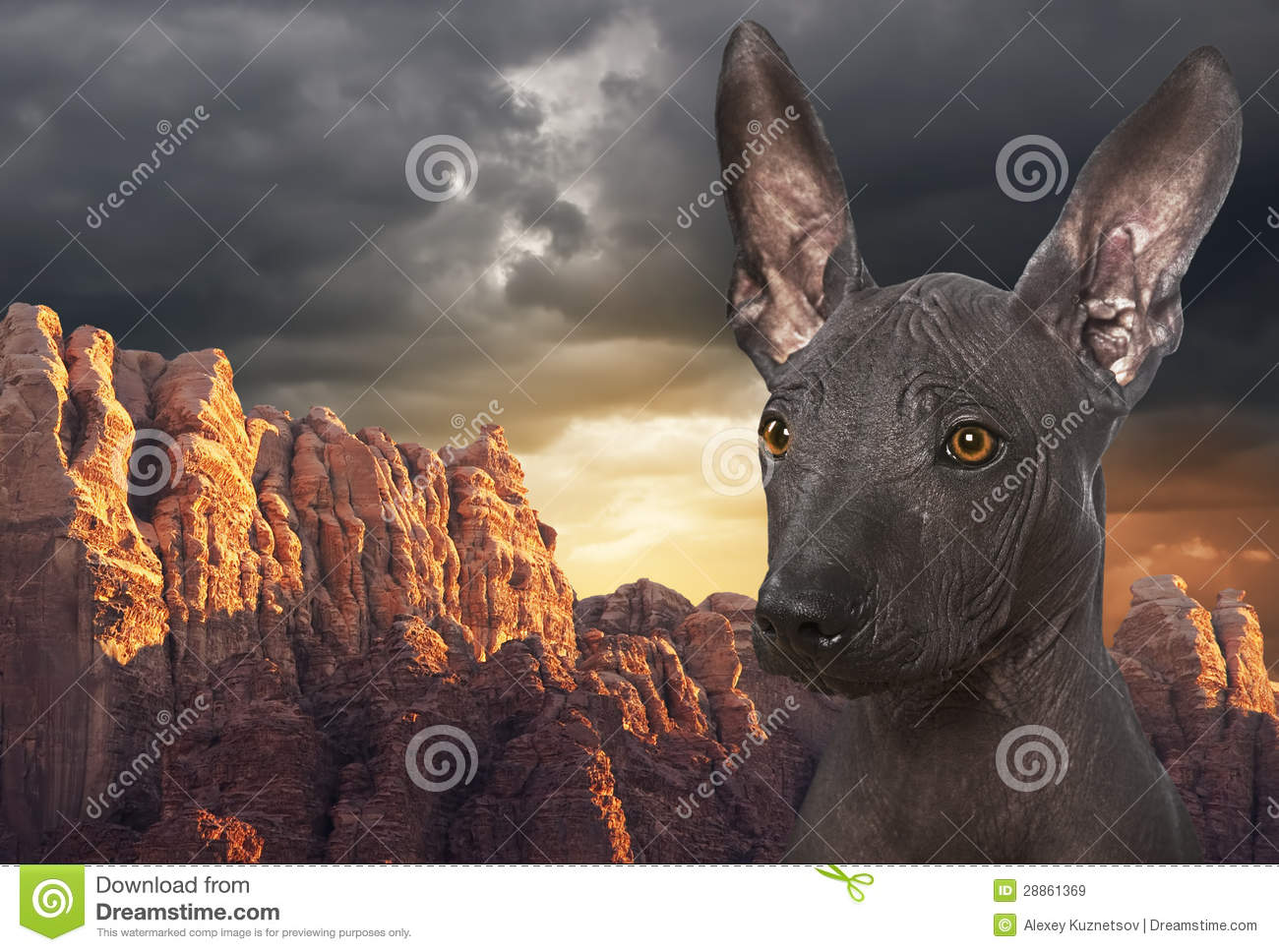 Showing pictures for  Xoloitzcuintle Con PeloXoloitzcuintle Con Pelo