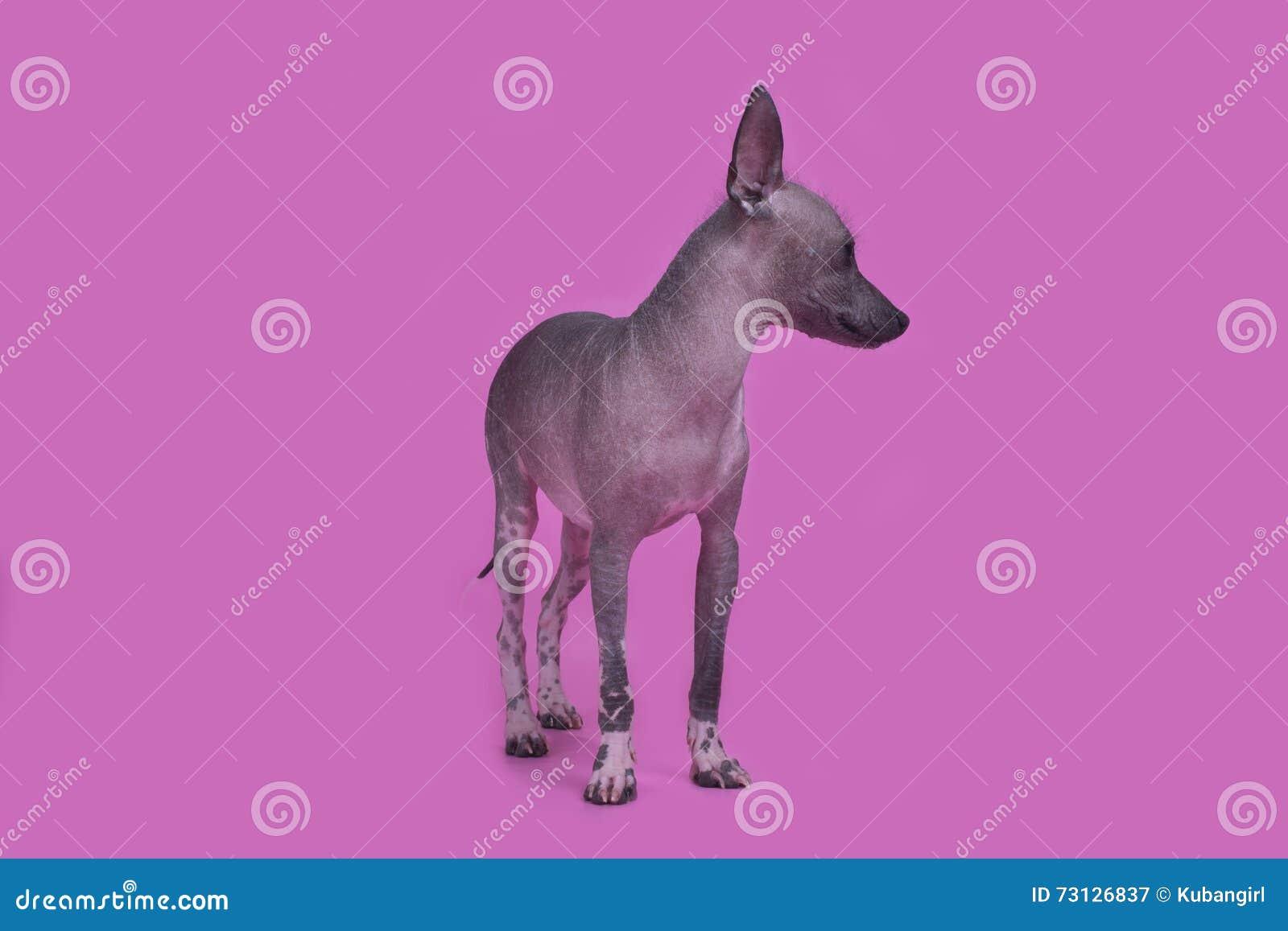 Perro Sin Pelo Mexicano En Un Fondo Coloreado Aislado Imagen De