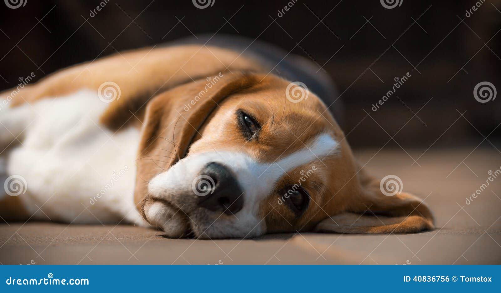 Perro soñoliento del beagle en lado