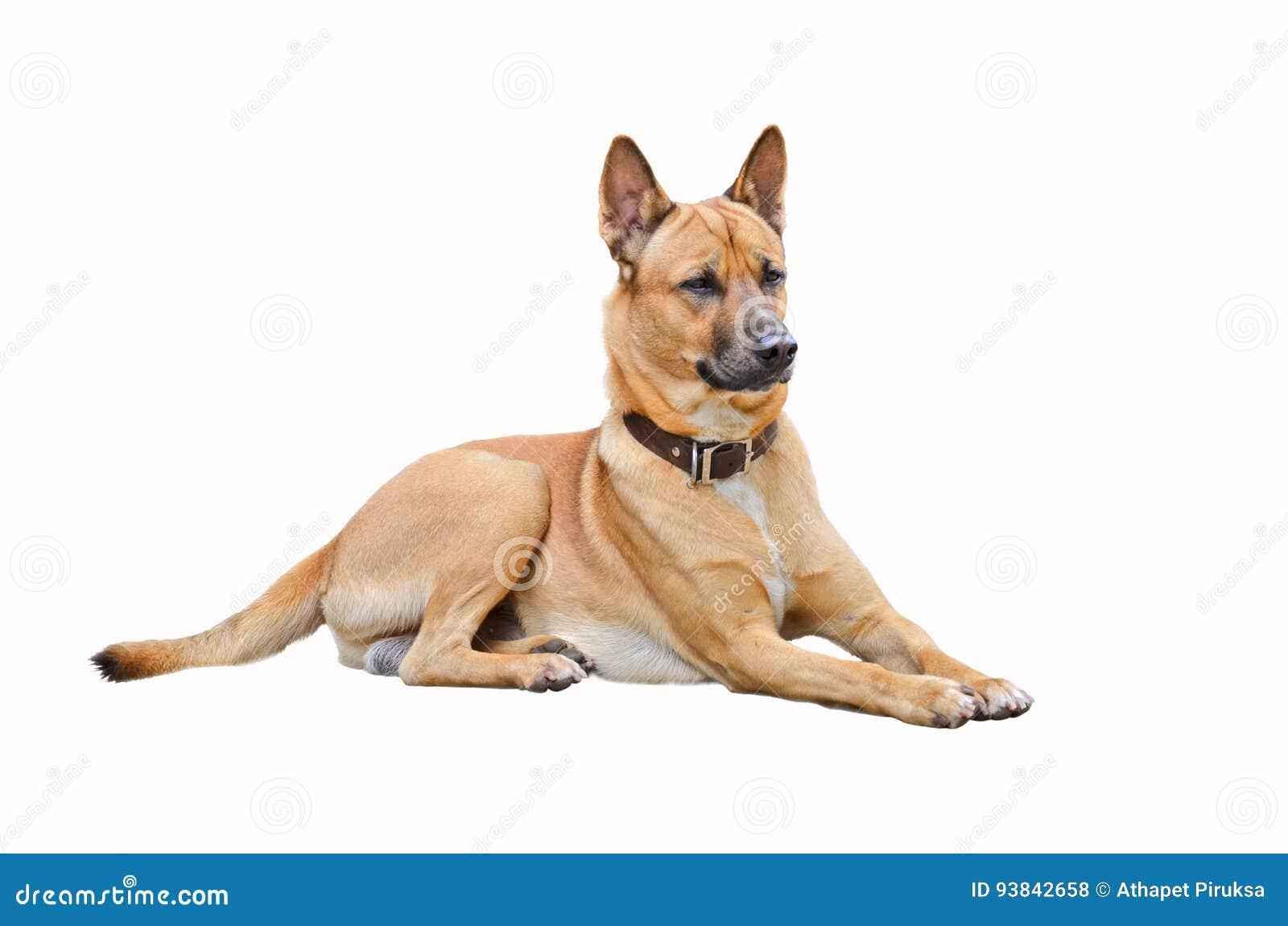 Perro tailandés marrón elegante de observación