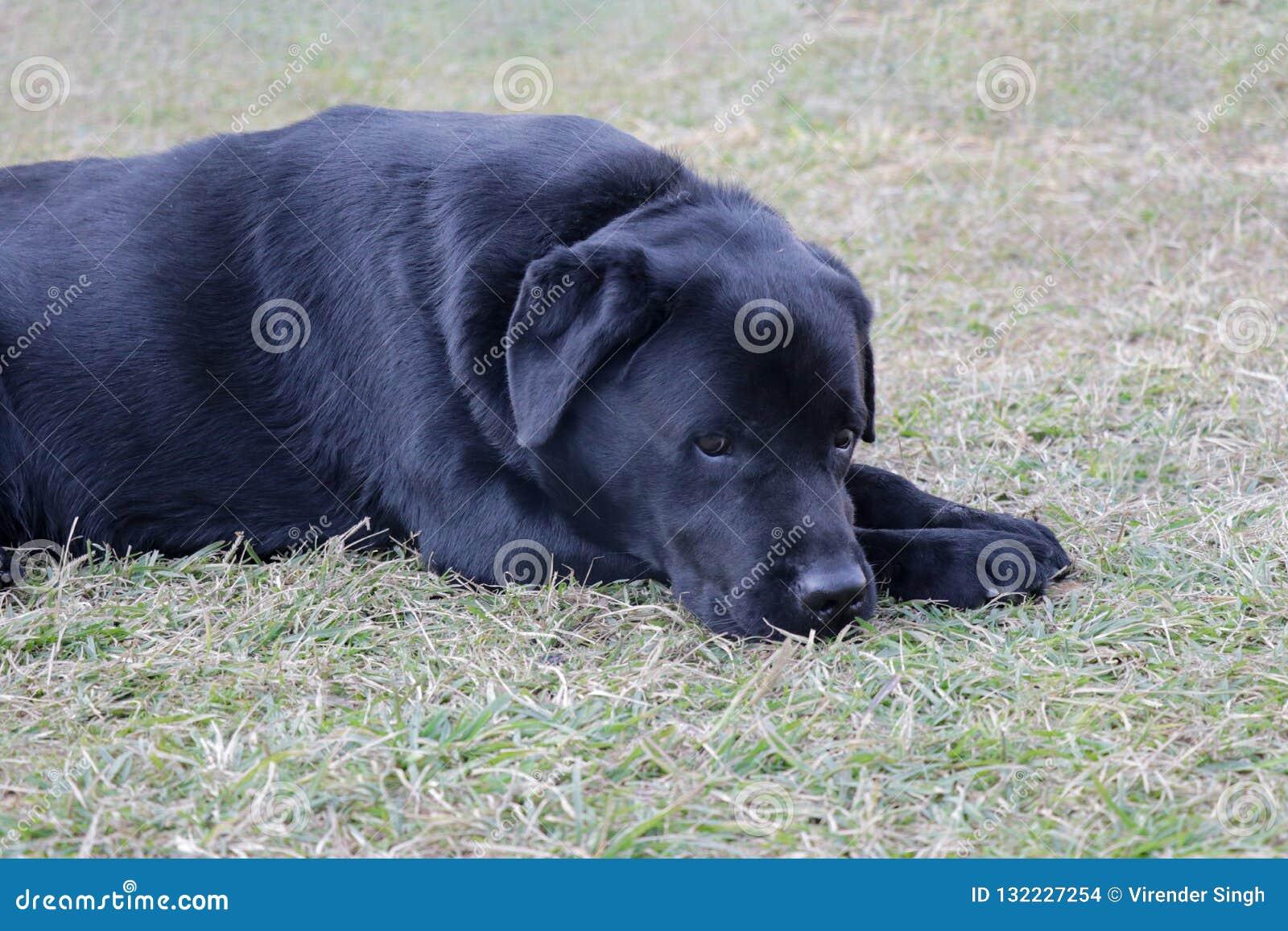 Perro triste de Labrador en la mentira en humor de la tristeza