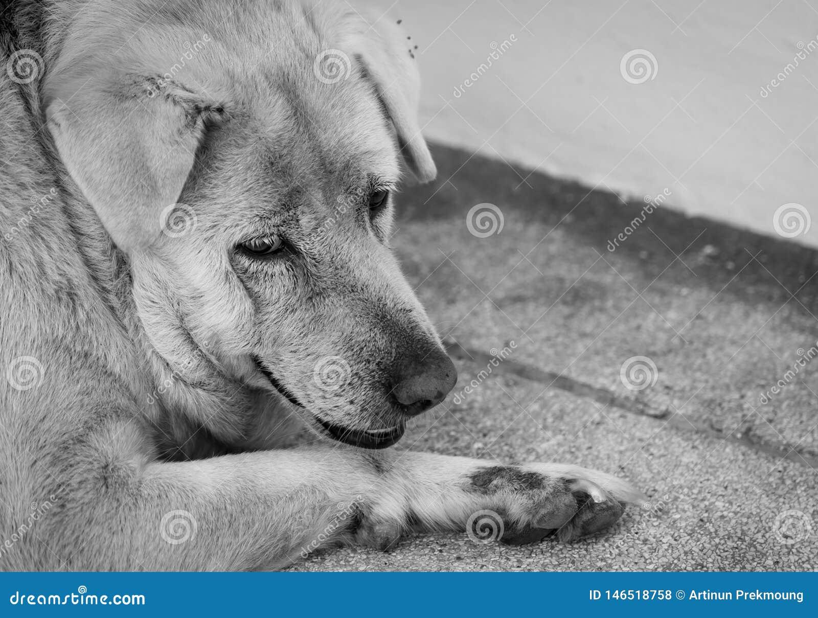 Perro triste del primer que miente en piso concreto Perro gordo agujereado para el dueño que espera Cara de la expresión de anima