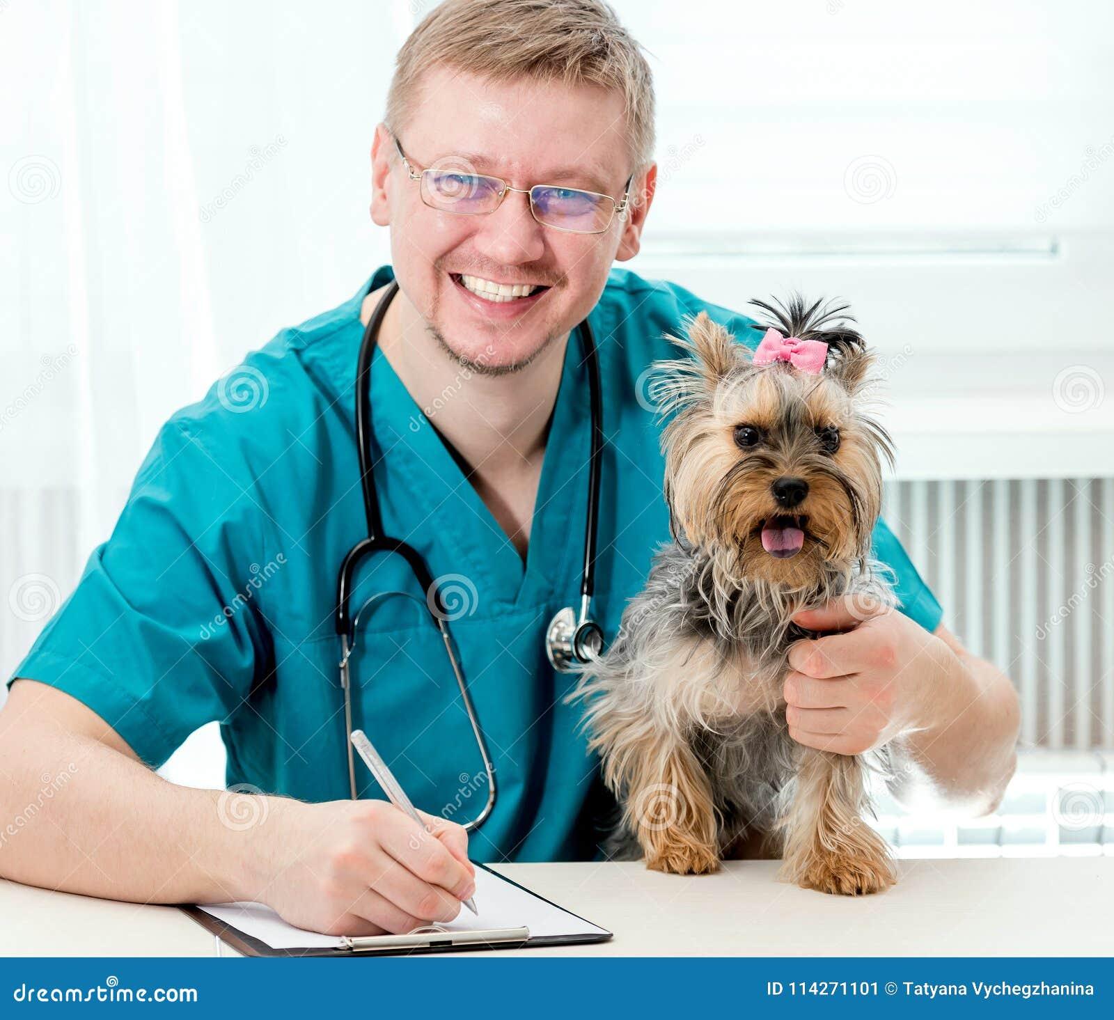 Perro veterinario de Yorkshire que se sostiene Terrier en las manos