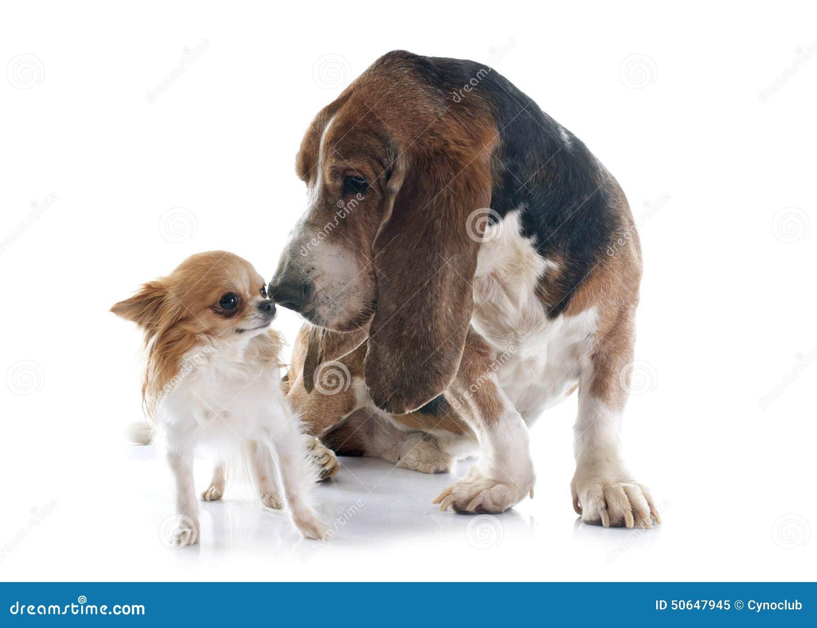 perro chihuahua fondo de - photo #28