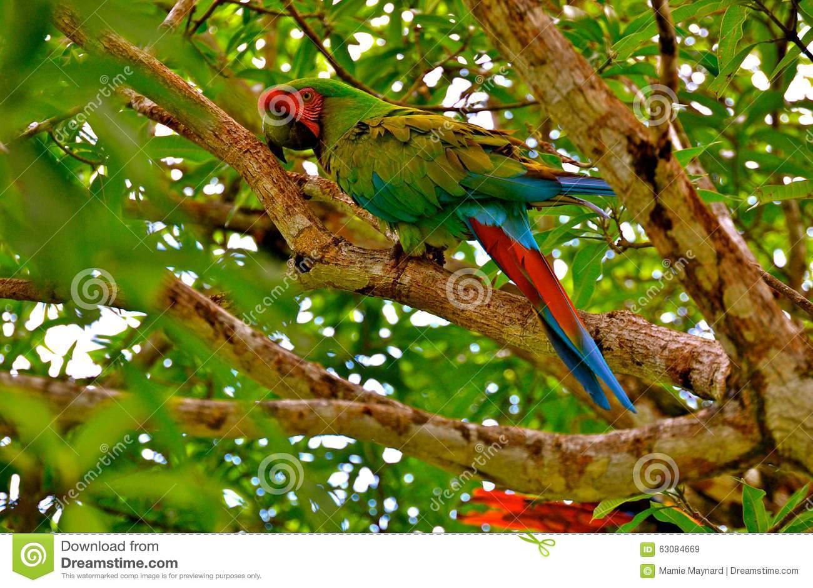 Download Perroquet image stock. Image du clavette, faune, guatemala - 63084669