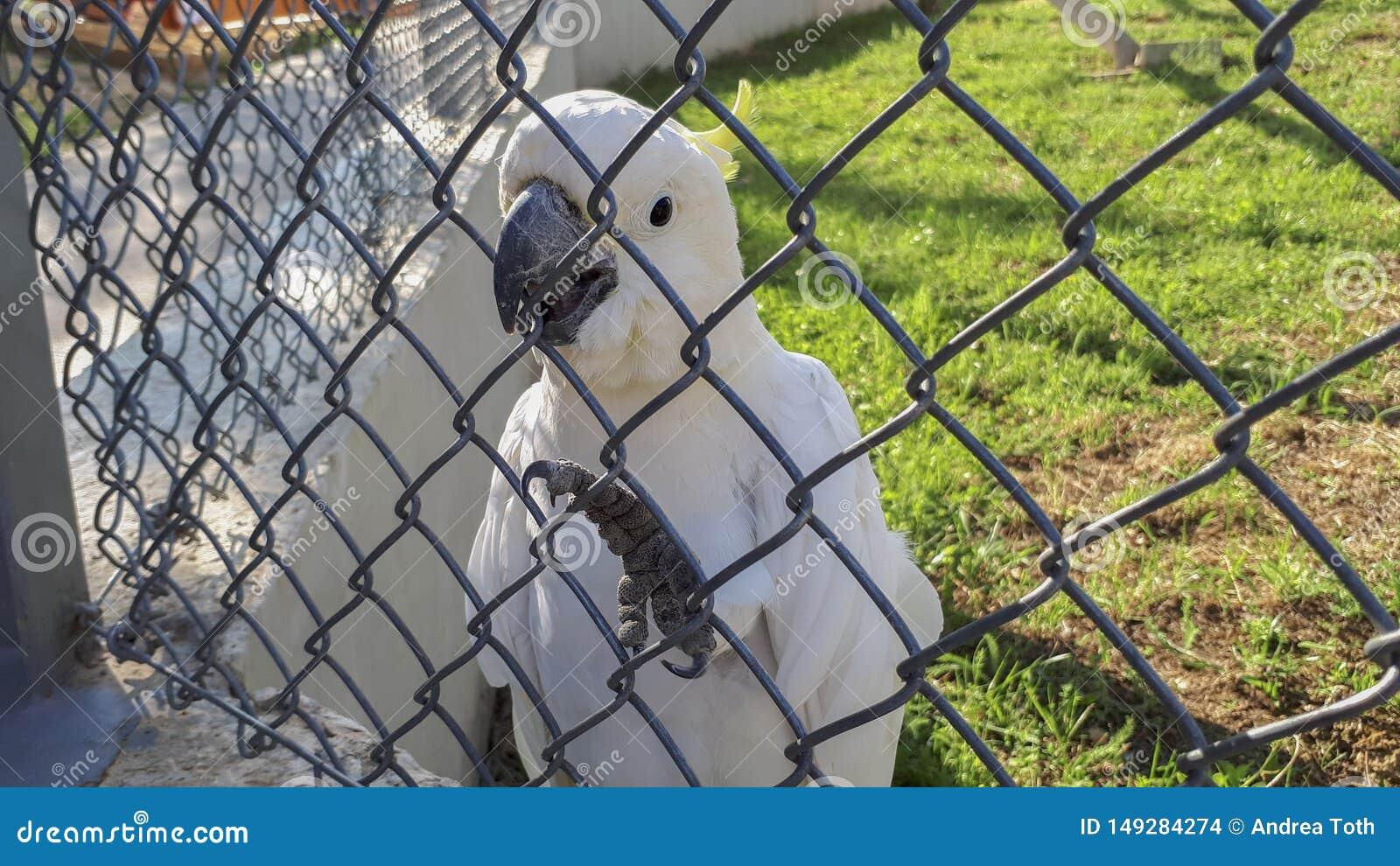 Perroquet blanc derri?re les grilles