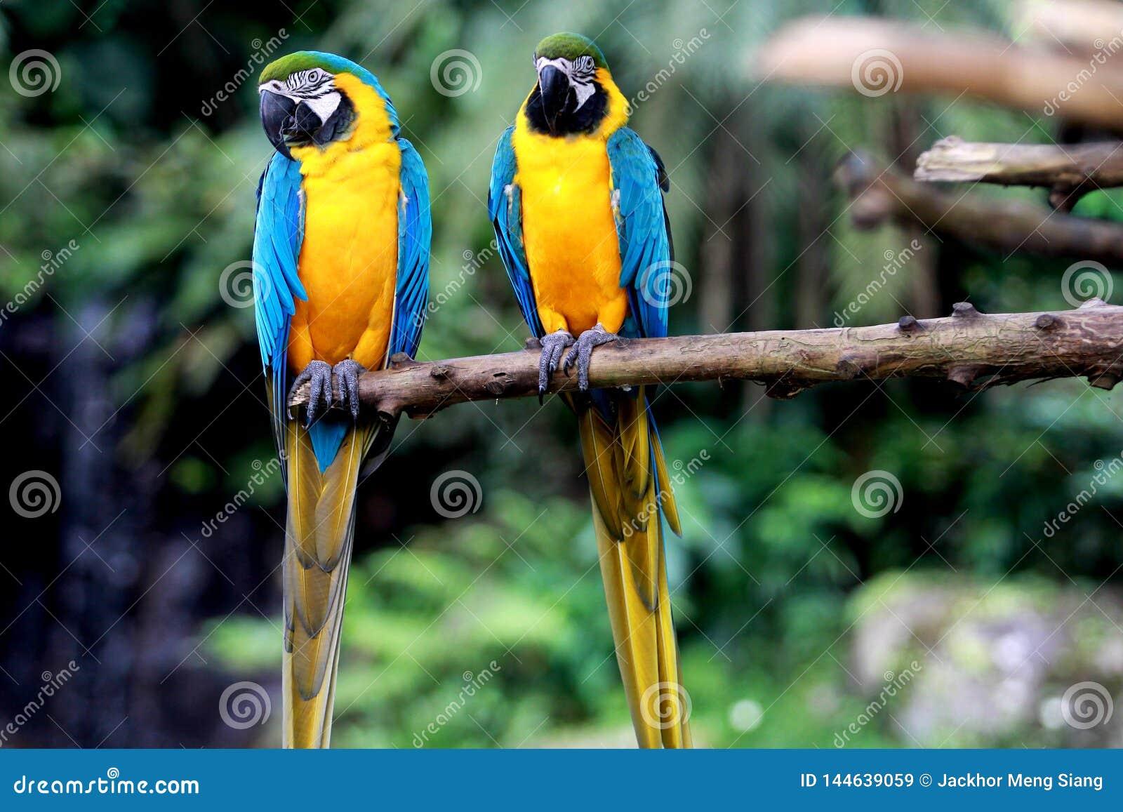 Perroquet bleu et jaune de Macaw