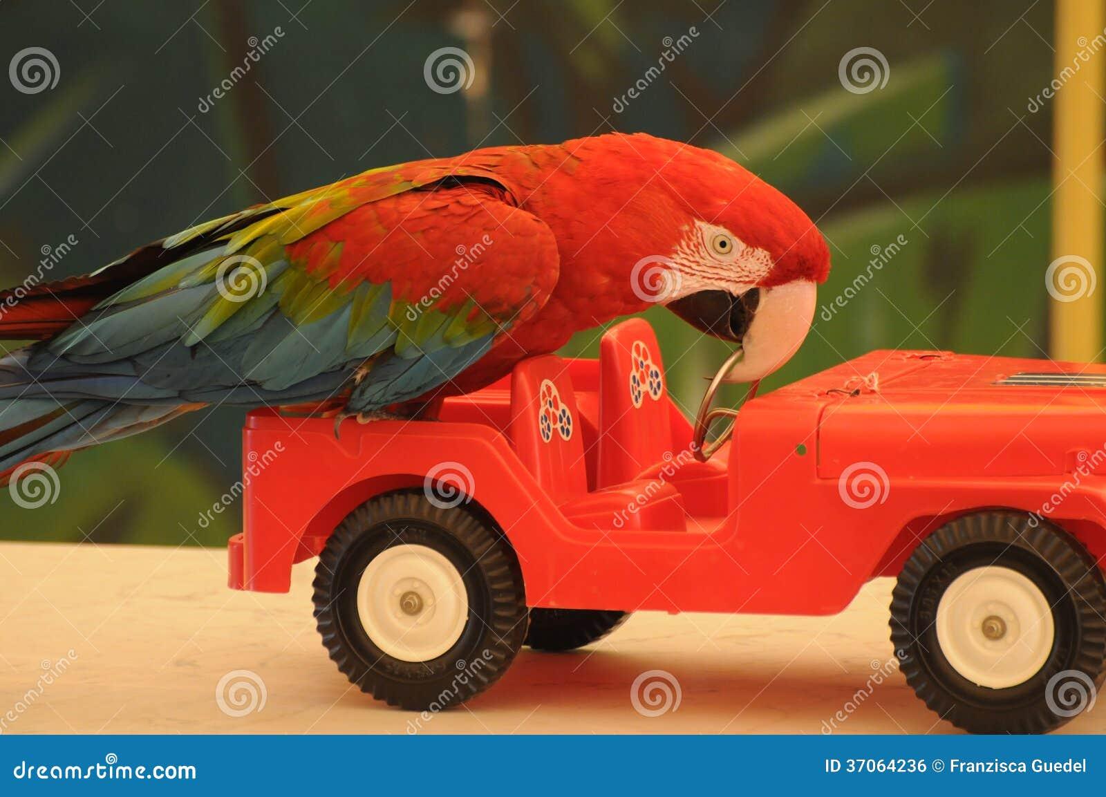 perroquet conduisant une voiture image libre de droits image 37064236. Black Bedroom Furniture Sets. Home Design Ideas