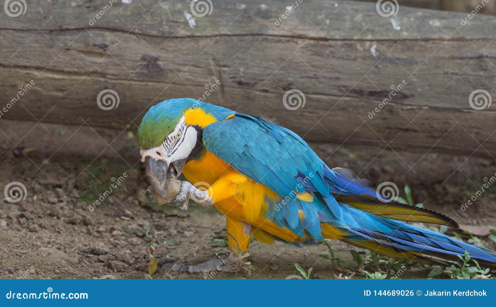 Perroquet d ara d or bleu et jaune