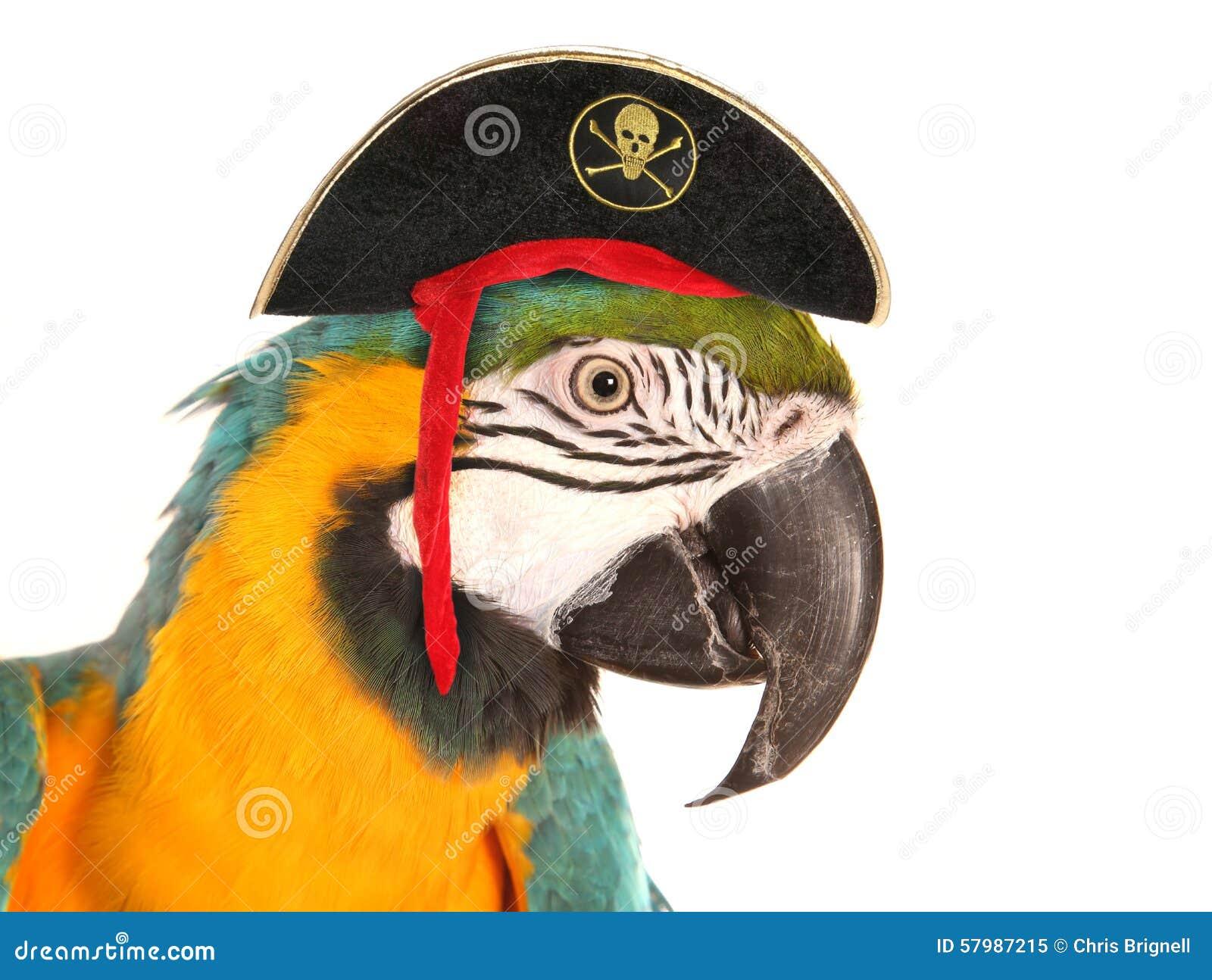 Perroquet d ara de pirate