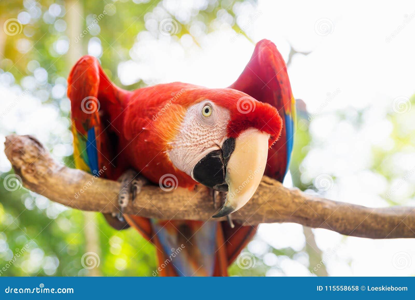 Perroquet d oiseau de Scarlett Macaw en montagne d ara, Copan Ruinas, Honduras, Amérique Centrale