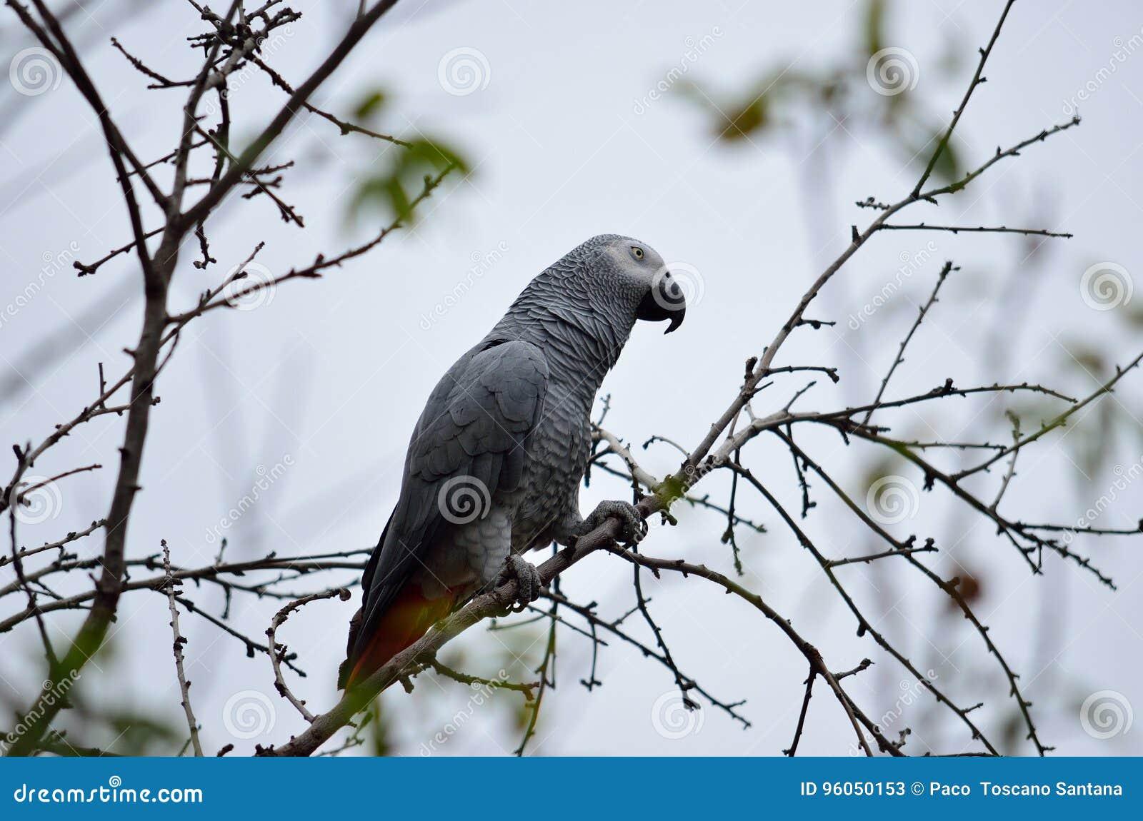 Perroquet de gris africain