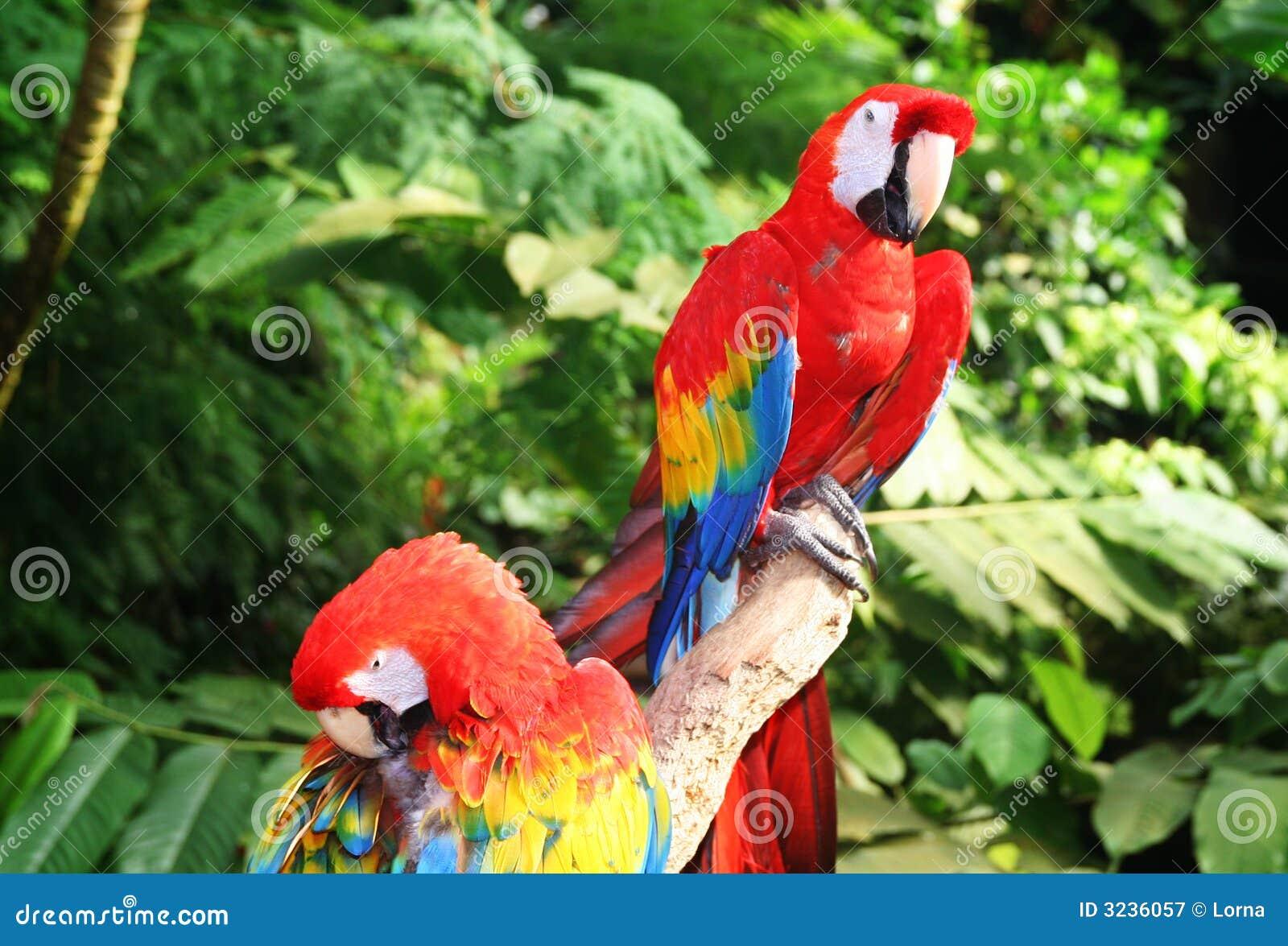 Perroquet de Macaw