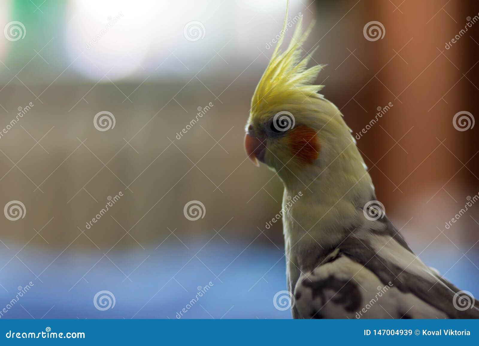 Perroquet Karella D Oiseau Image Stock Image Du Perroquet 147004939