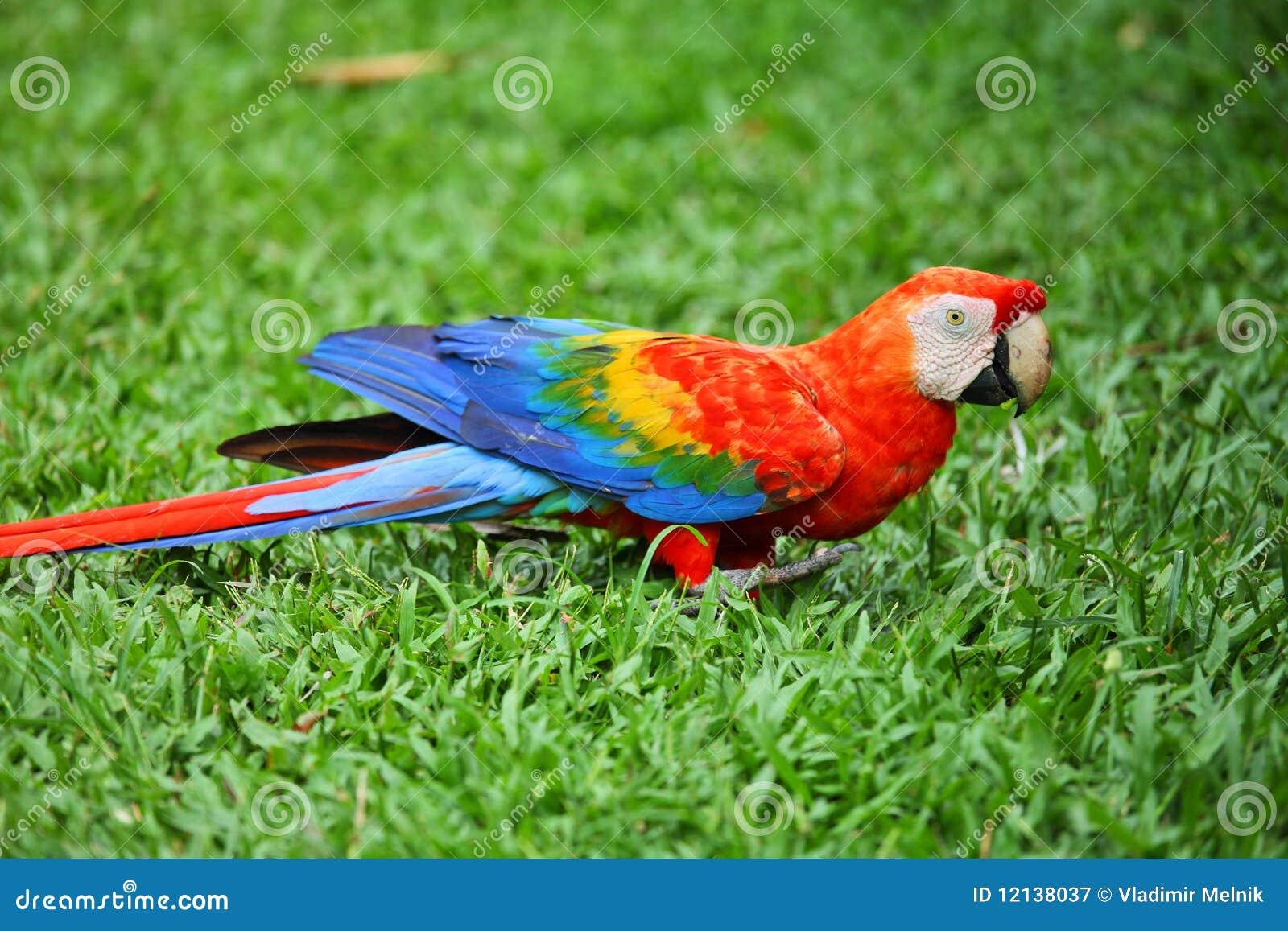 Perroquet : macaw d écarlate