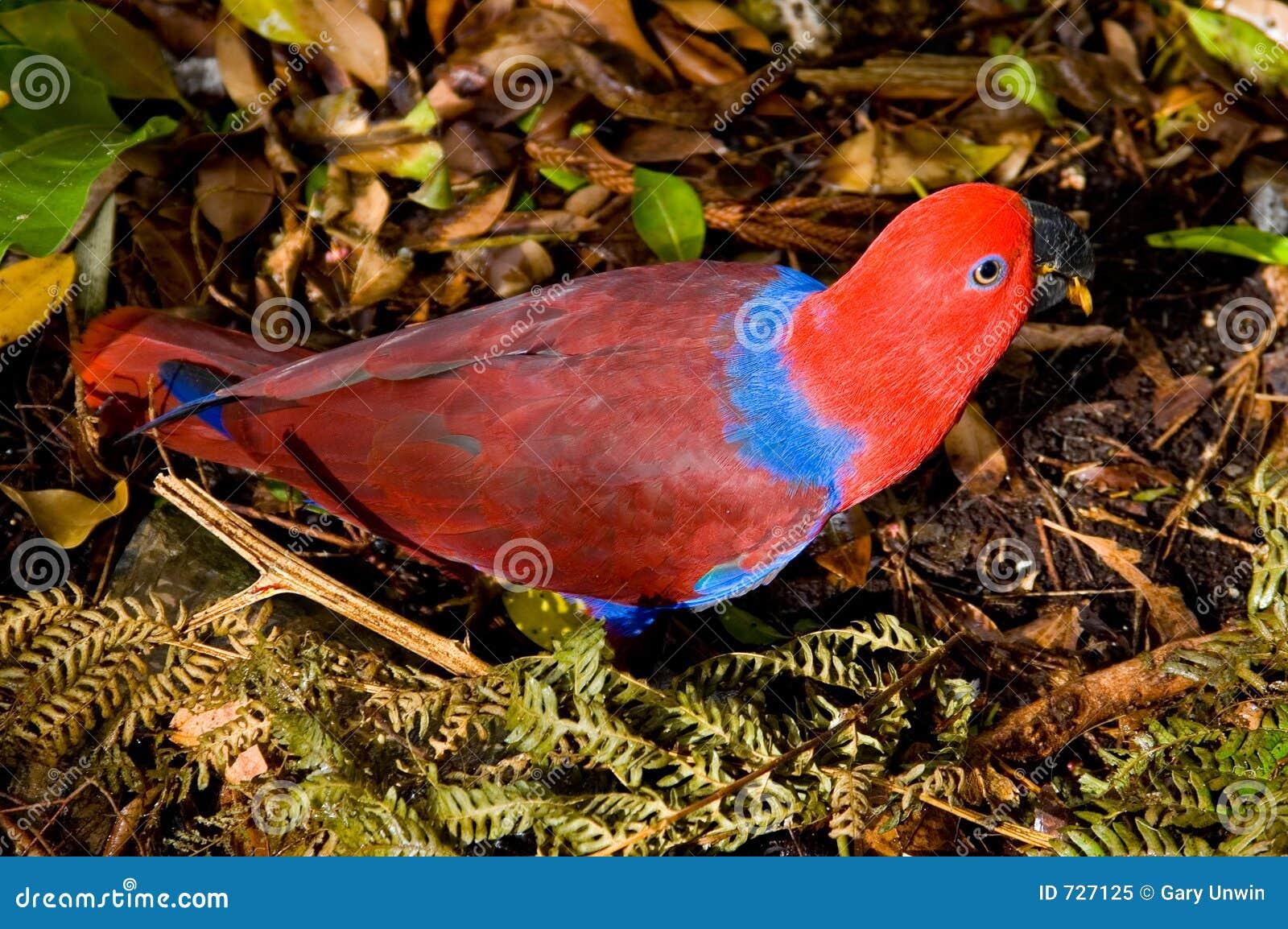 Perroquet rouge de Lory