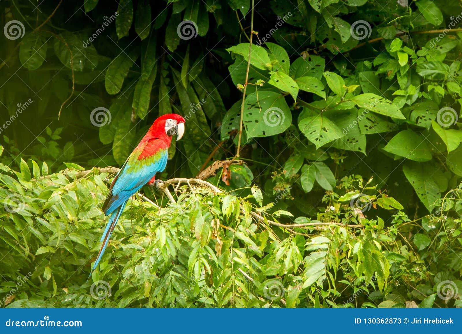 Perroquet rouge en étant perché sur la branche, végétation verte à l arrière-plan Ara rouge et vert dans la forêt tropicale, Péro