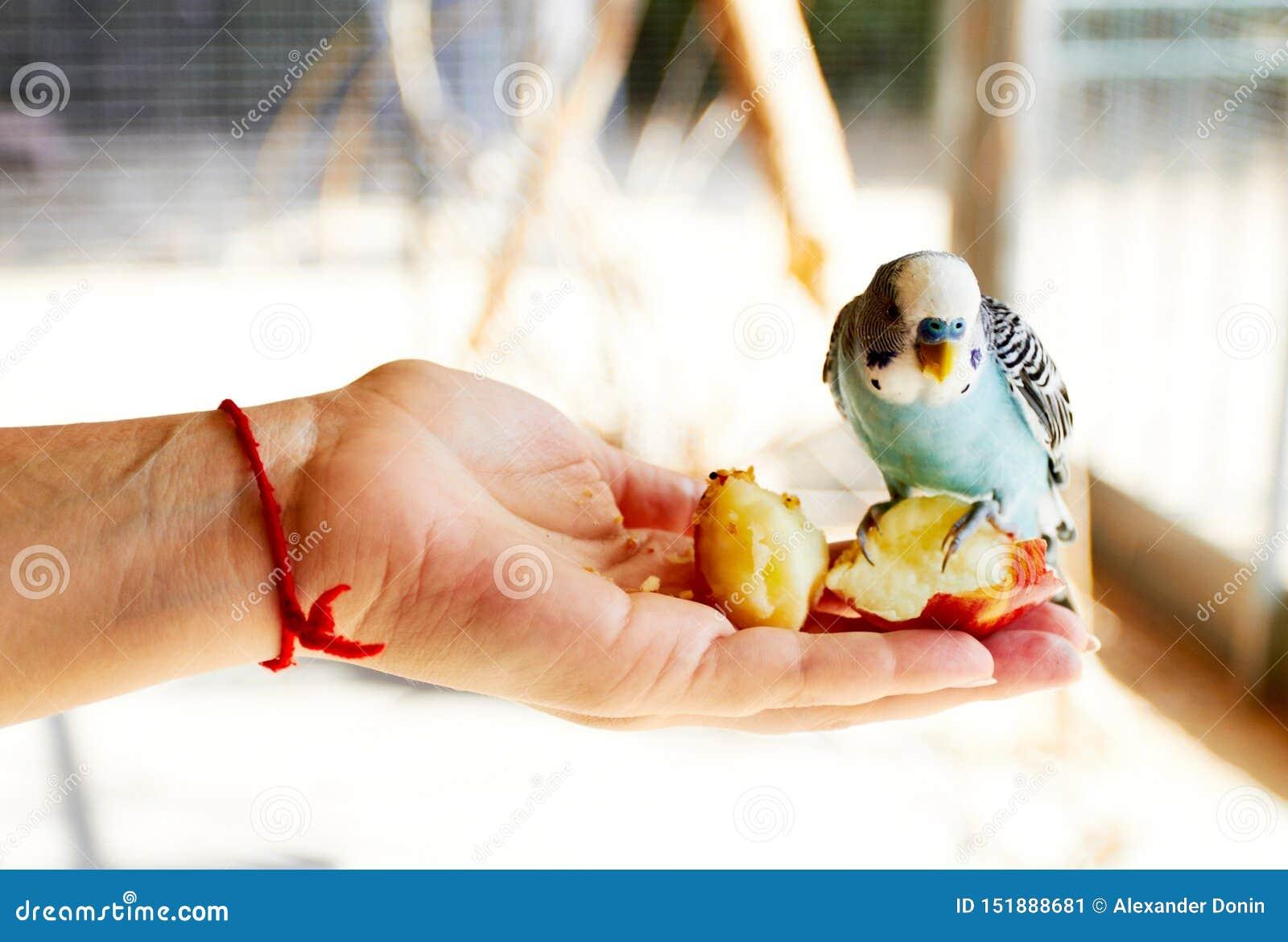 Perroquet se reposant sur sa main et consommation