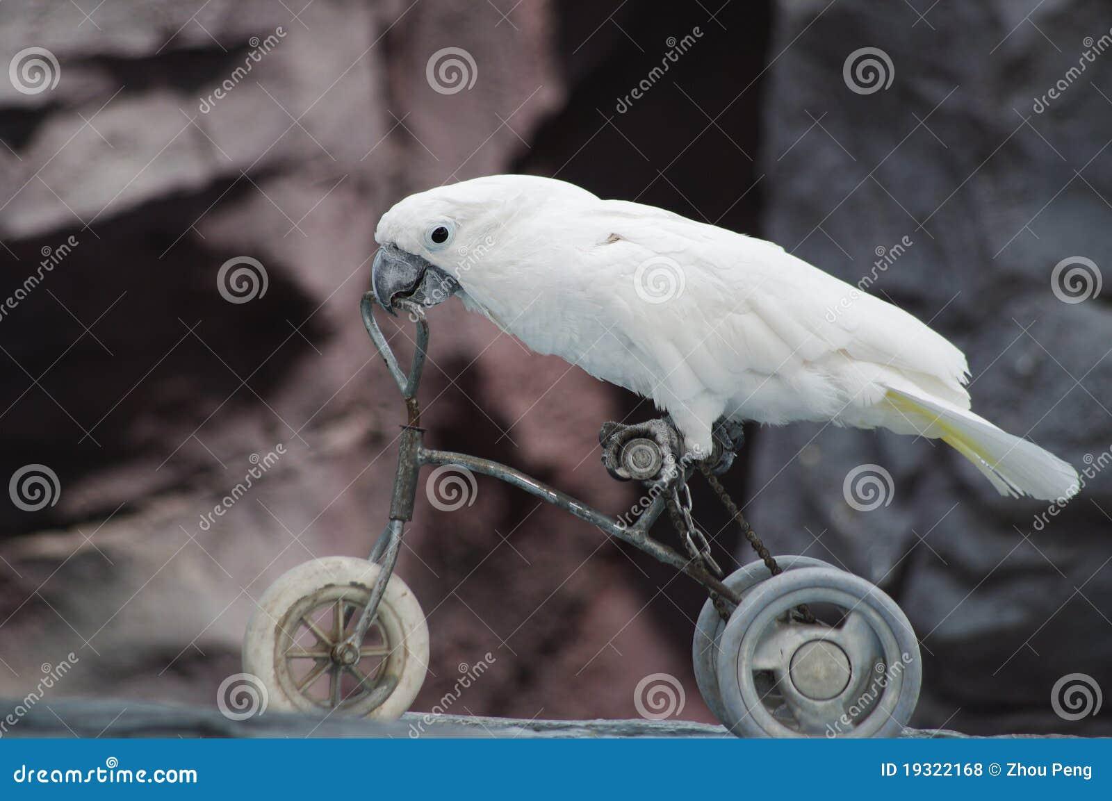 Perroquet sur un vélo